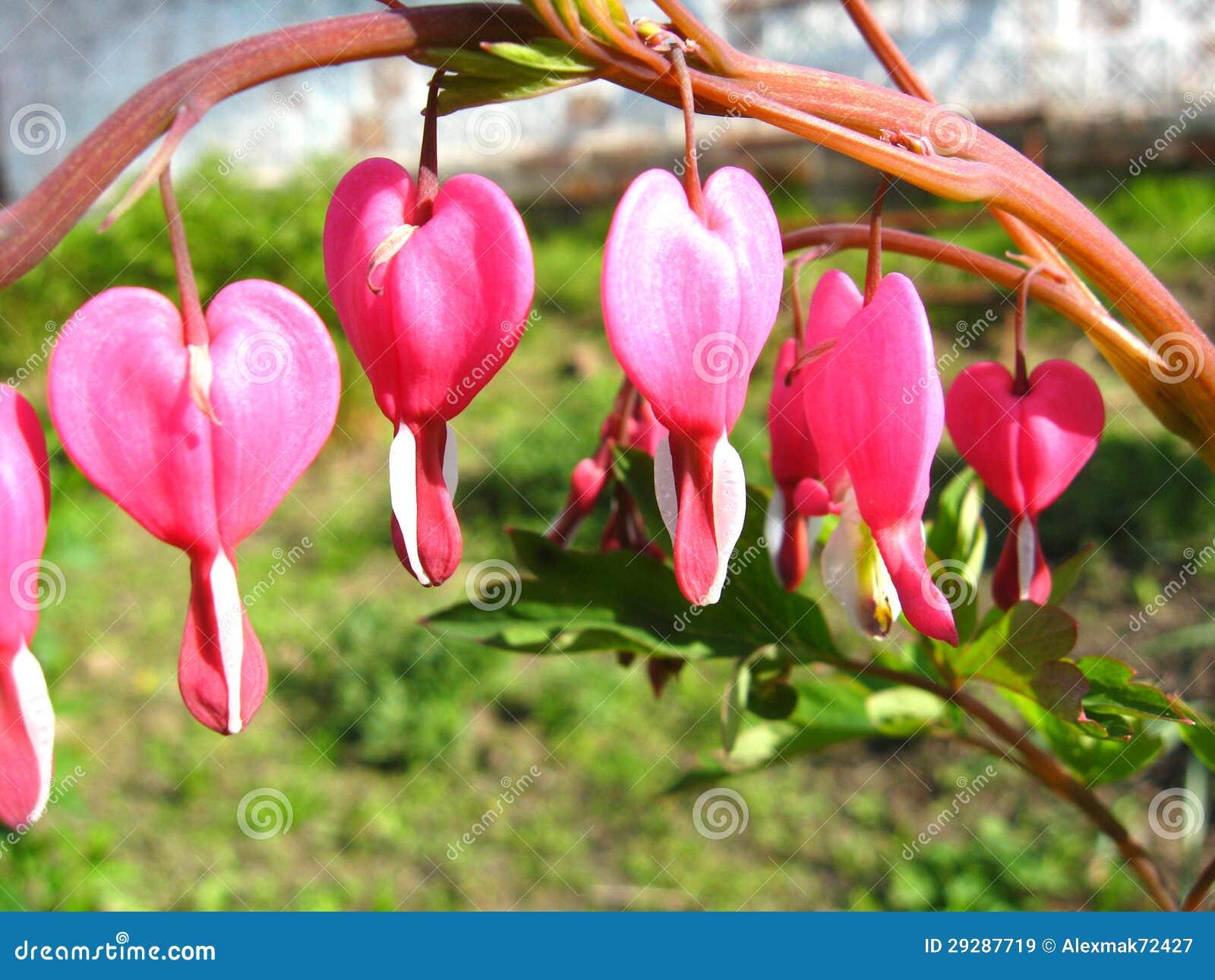 fleur magnifique de dicentra images libres de droits - image: 29287719