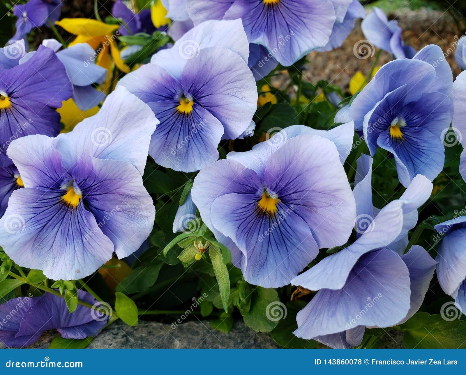 Fleur Mauve-clair Dans Un Jardin Dans La Saison D\'hiver ...