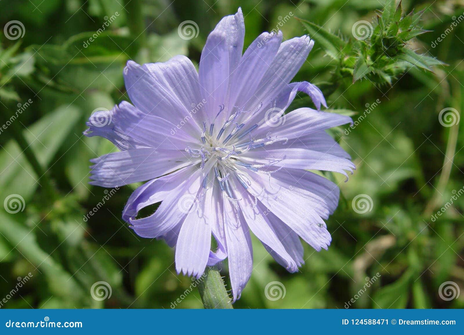 Fleur Mauve-clair De Chicorée Sur Le Fond Vert Image stock ...