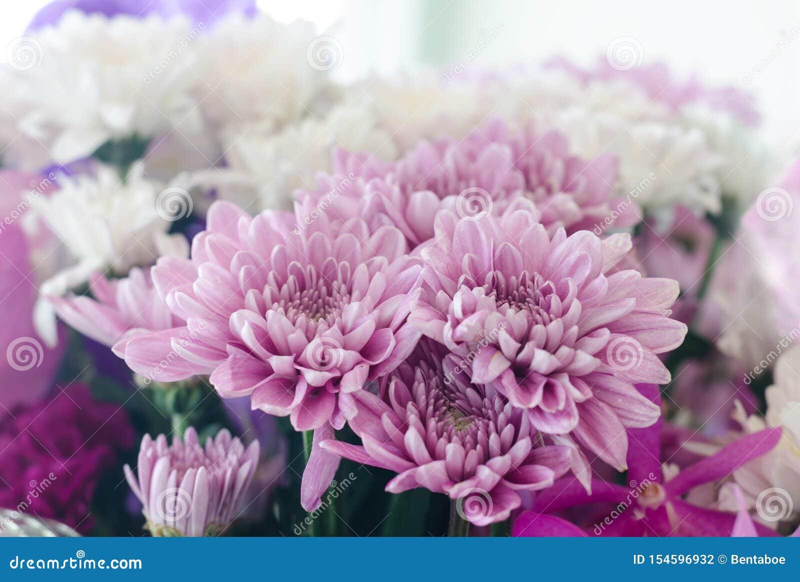 Fleur Mauve-clair De Chrysanthème Photo stock - Image du ...