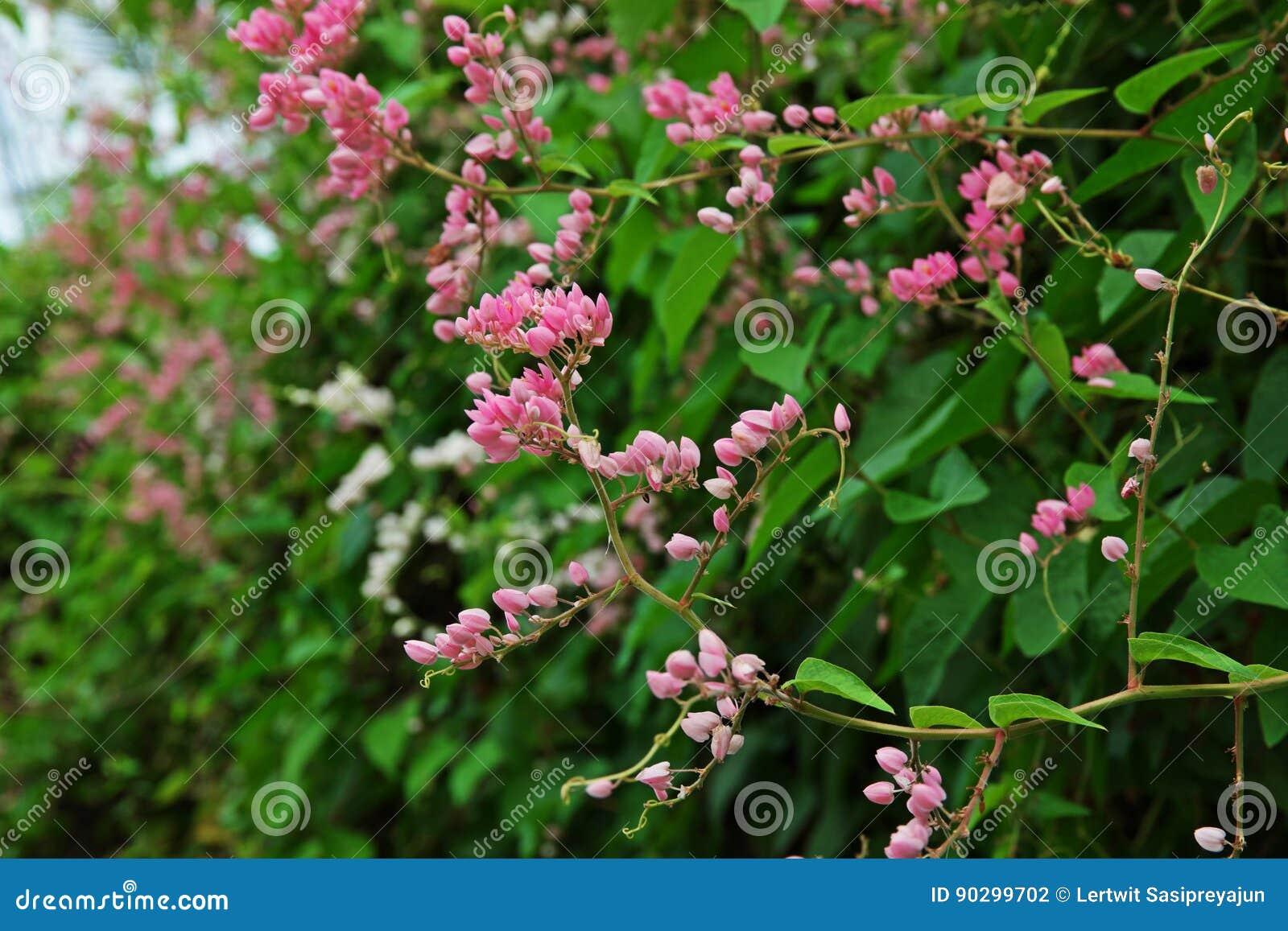 plante grimpante du mexique