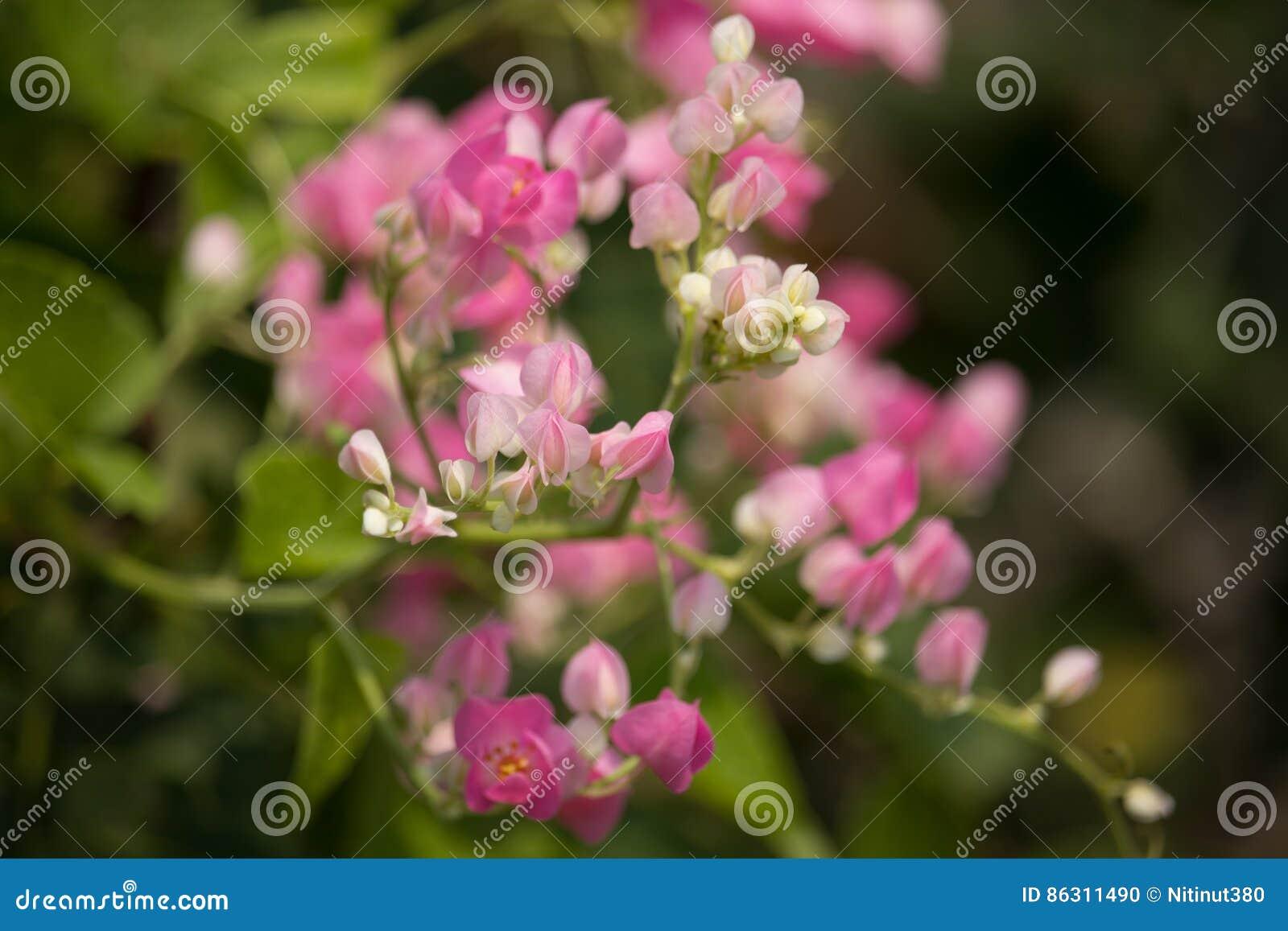 Fleur Mexicaine De Plante Grimpante Fleur Blanche De Petit Melange