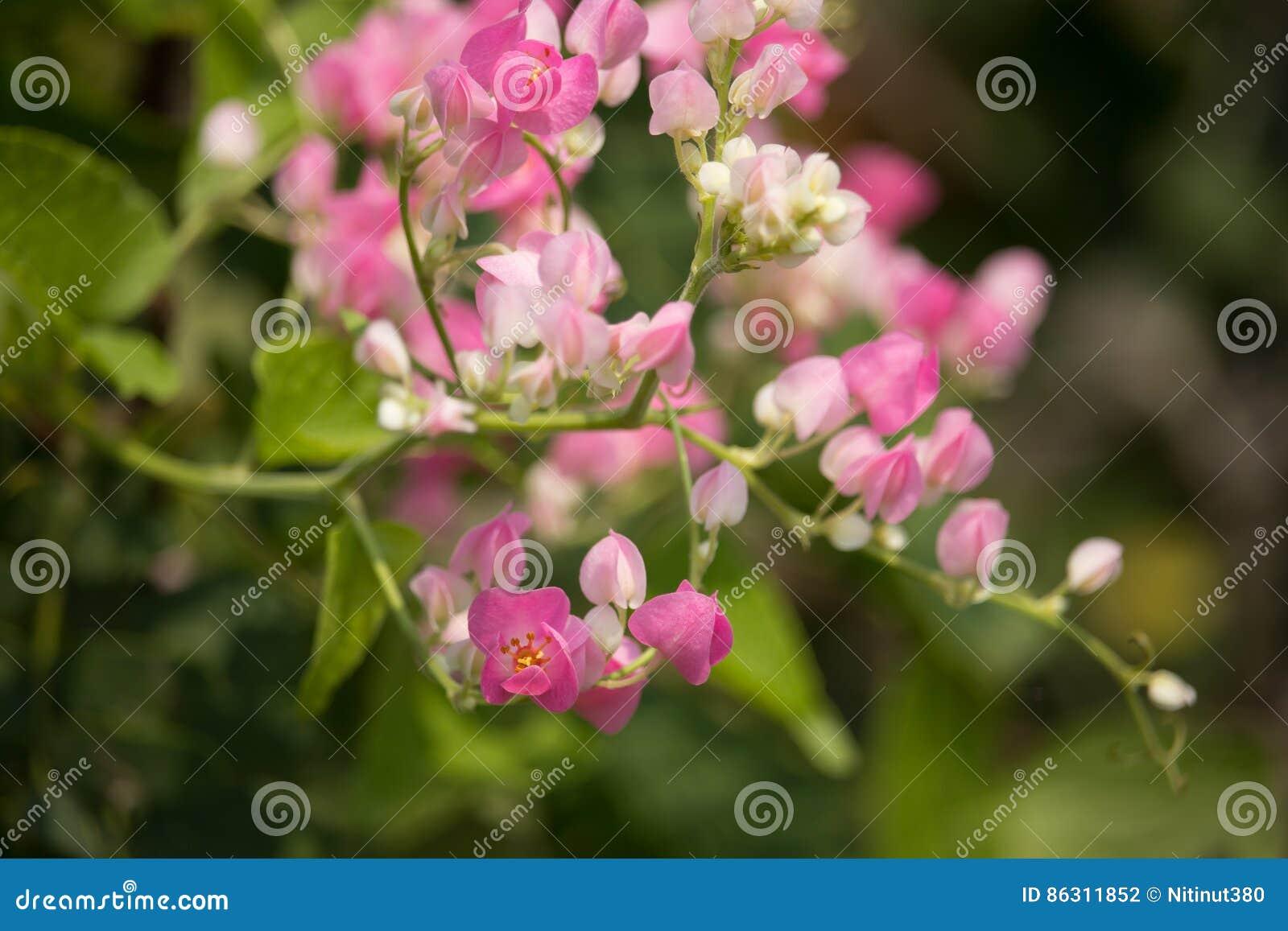 fleur mexicaine de plante grimpante, fleur blanche de petit
