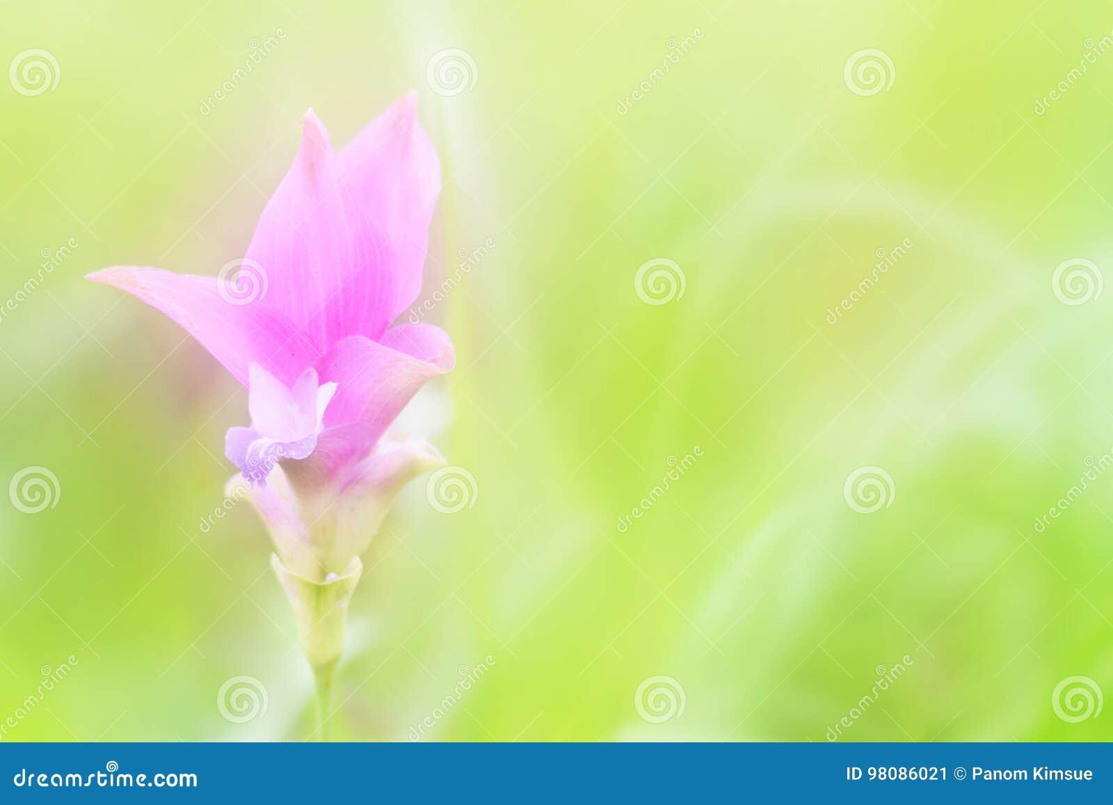 Fleur molle de tulipe du Siam de tache floue sur le fond vert