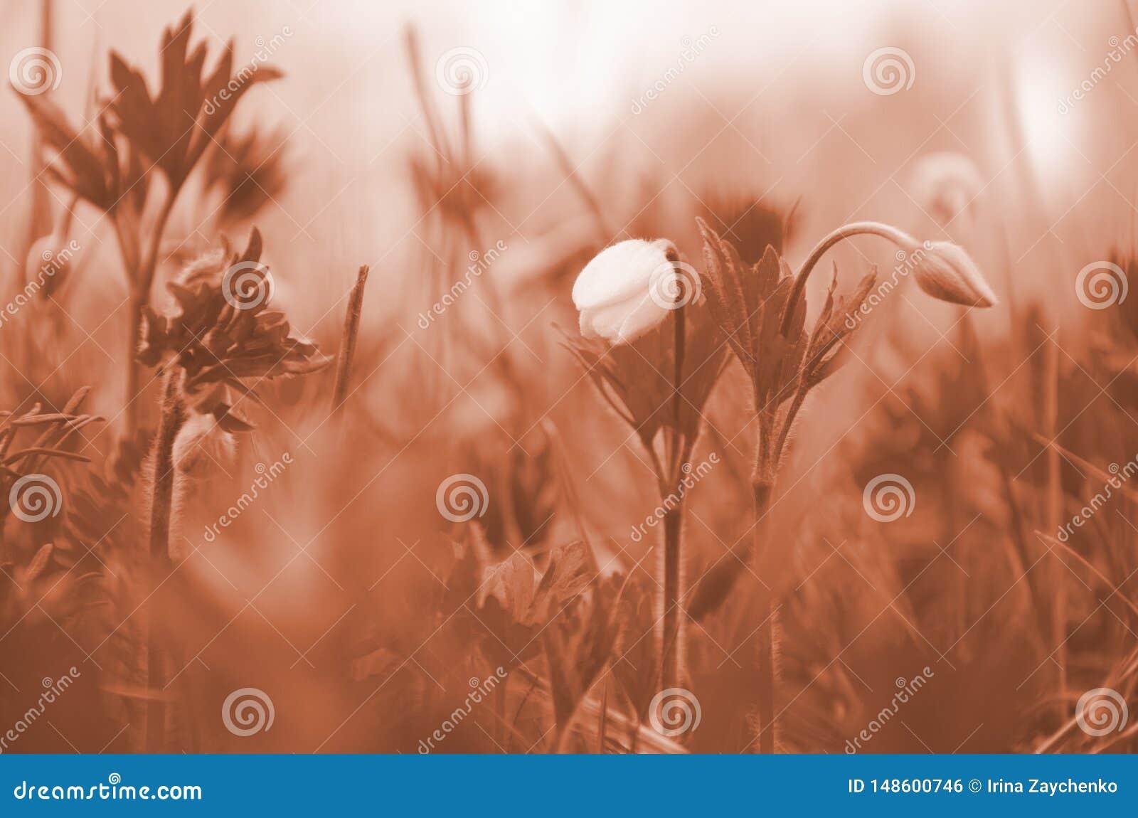 Fleur non-ouverte en gros plan de perce-neige La premi?re fleur de source Ton de corail
