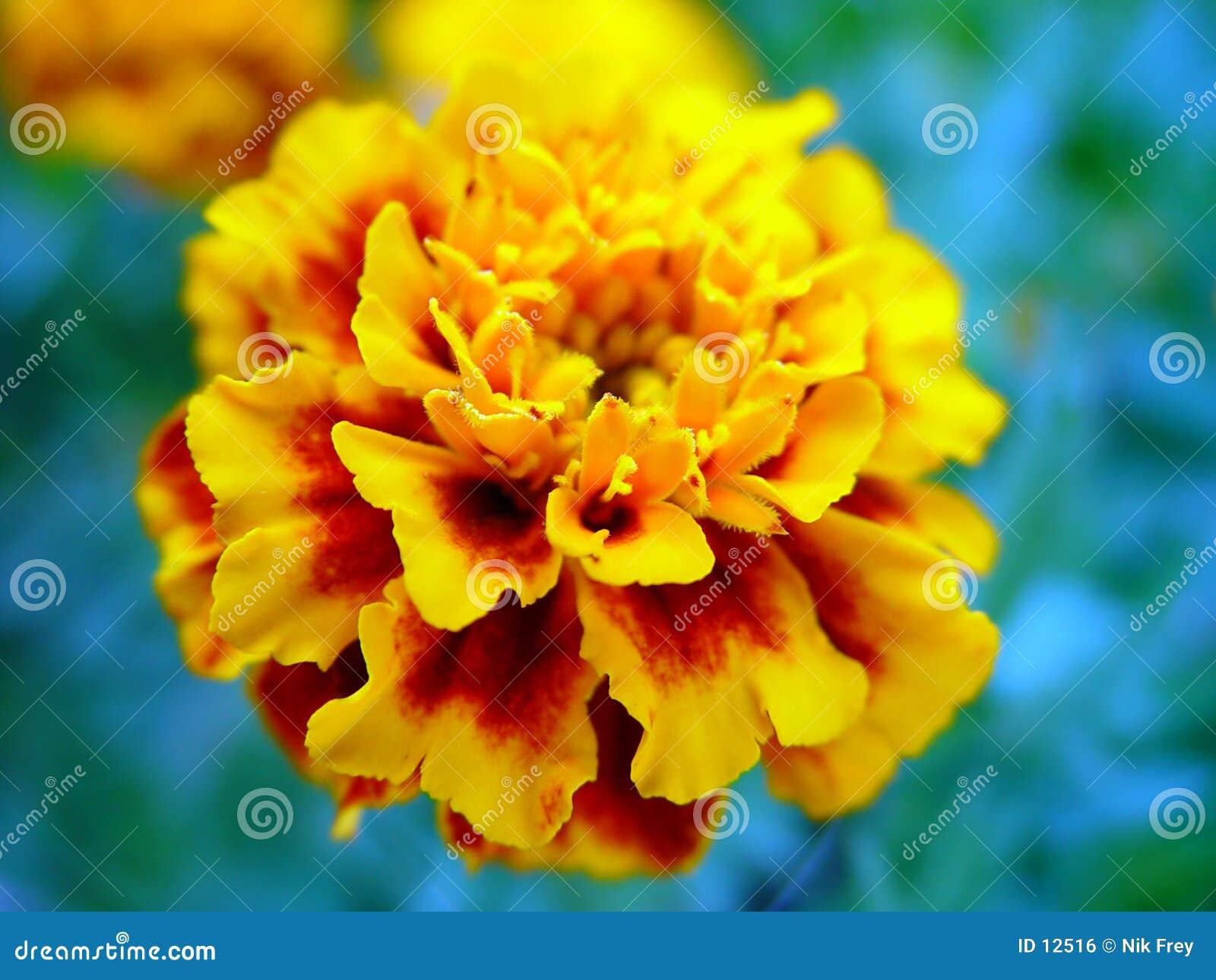 Fleur normale