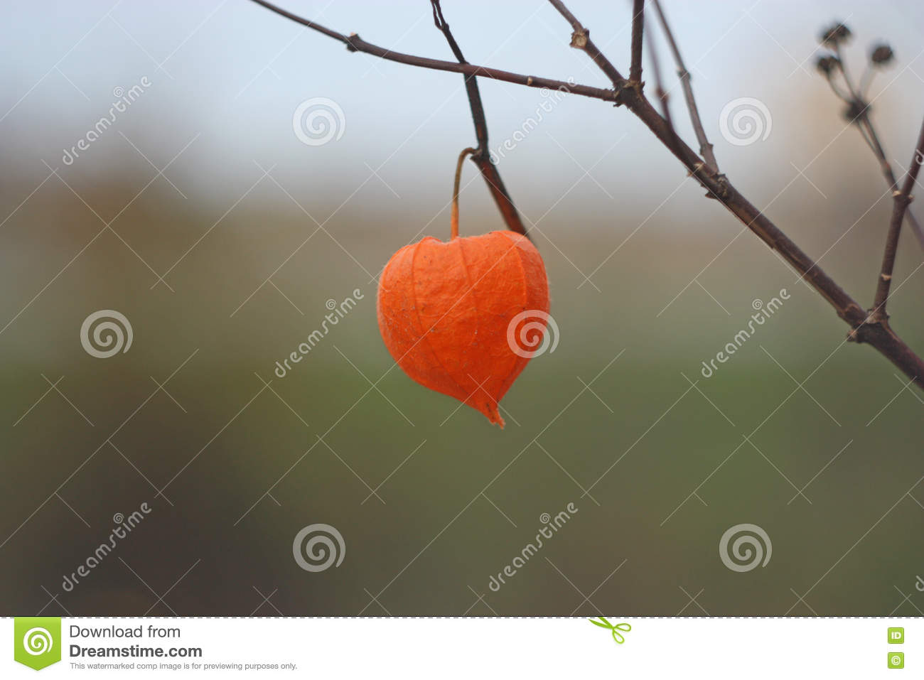 Fleur Orange D\u0027automne Sec De Physalis Photo stock , Image