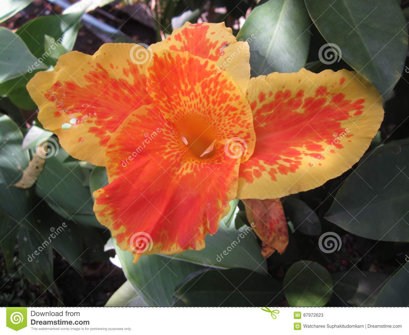 Fleur Orange De Canna Image Stock Image Du Charmer Beau 87972623