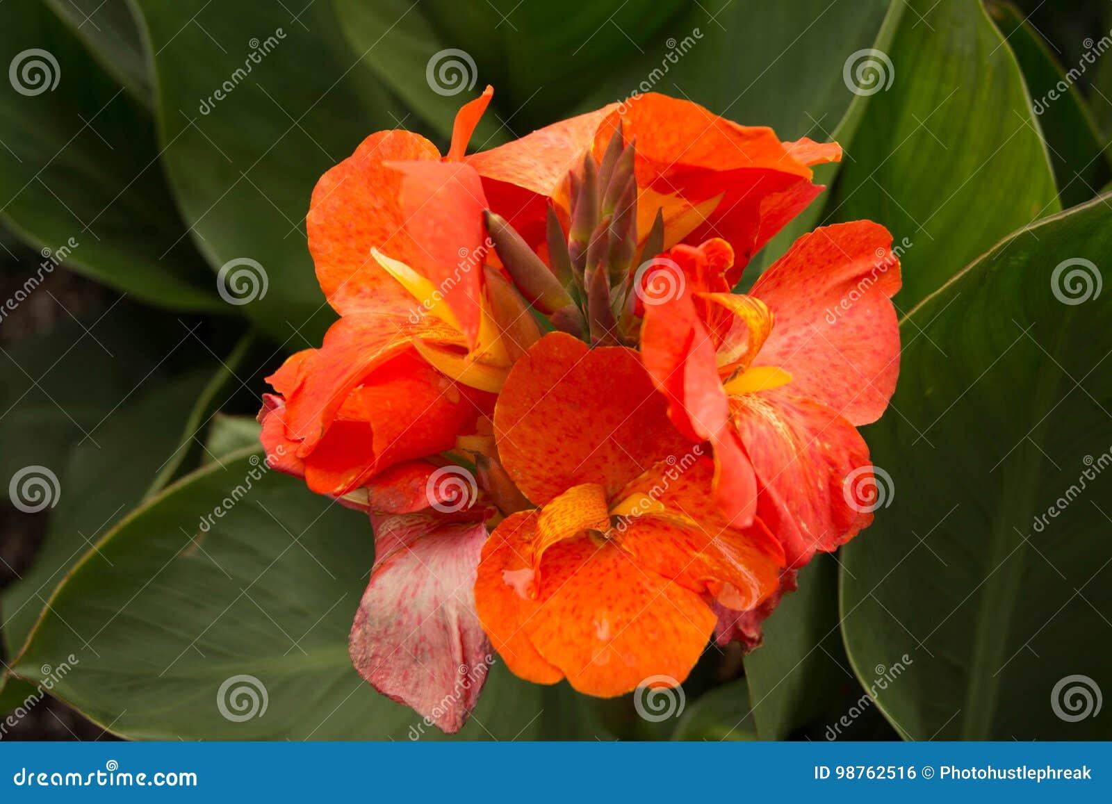 Fleur Orange De Canna Photo Stock Image Du Developpez 98762516