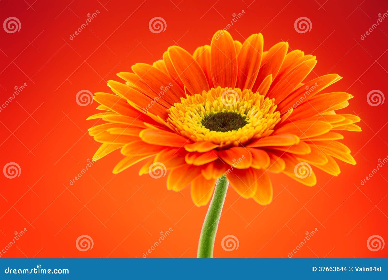 Fleur orange de marguerite de gerbera