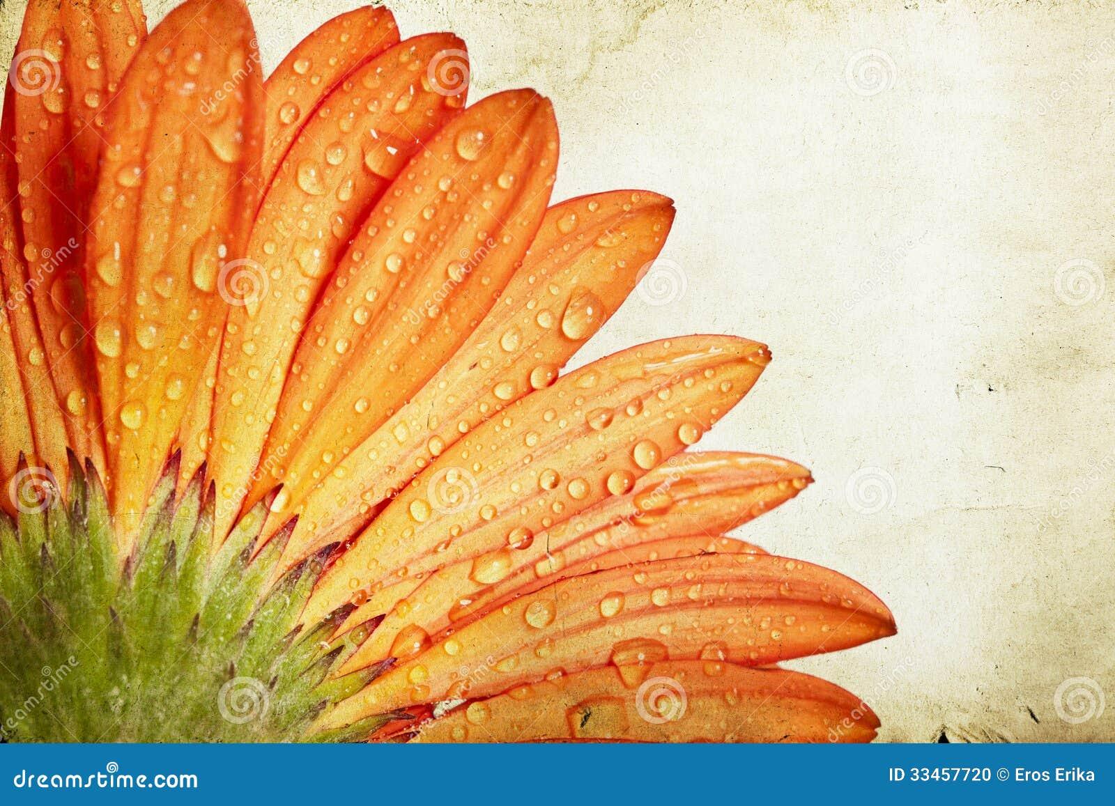 Fleur orange de marguerite de gerbera de plan rapproché
