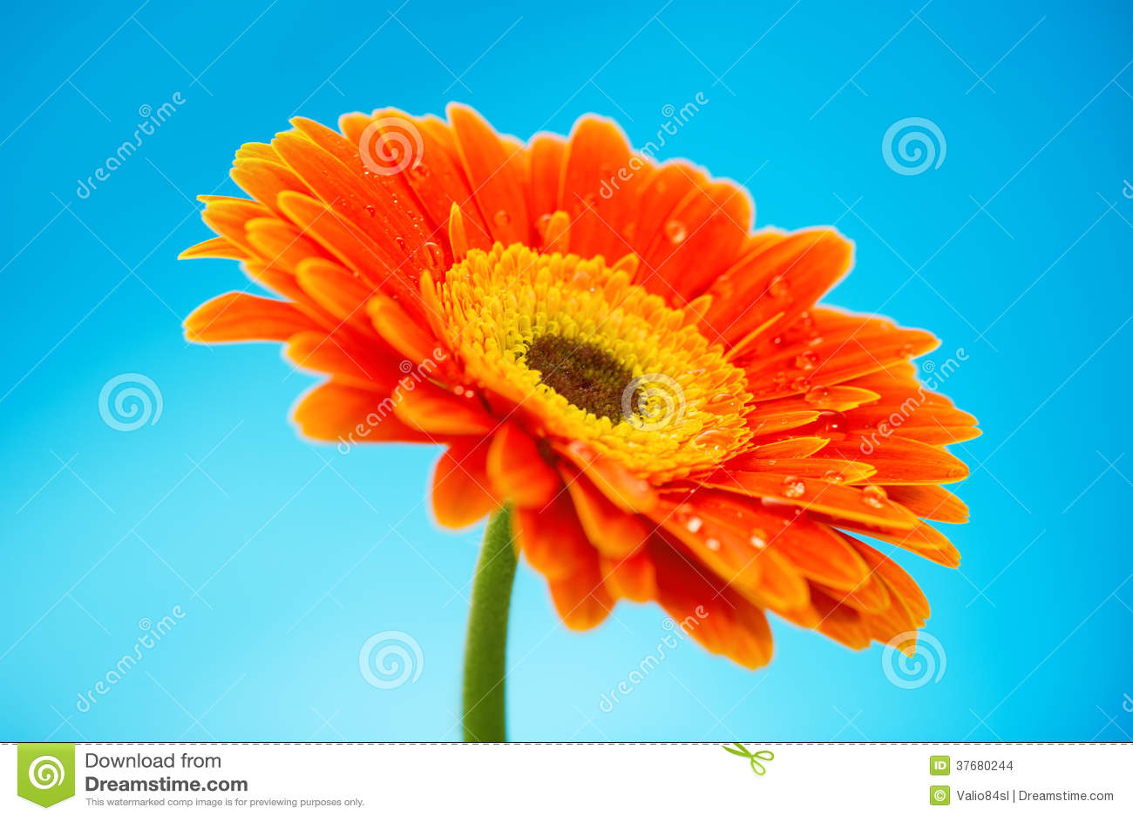 Fleur Orange De Marguerite De Gerbera Sur Le Fond Bleu Photo Stock