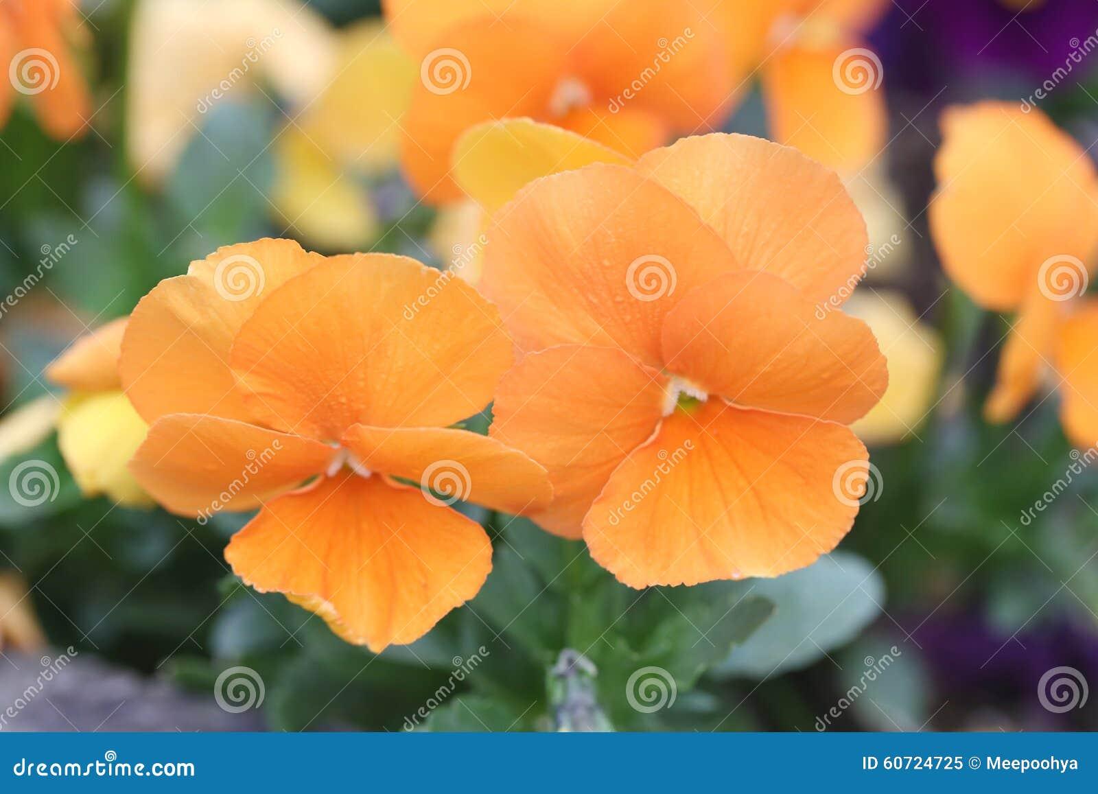 Fleur Orange De Pensee Image Stock Image Du Japan Fleur 60724725