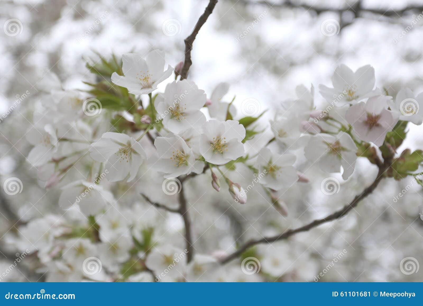 Fleur De Cerisier Blanche Id E D Image De Fleur