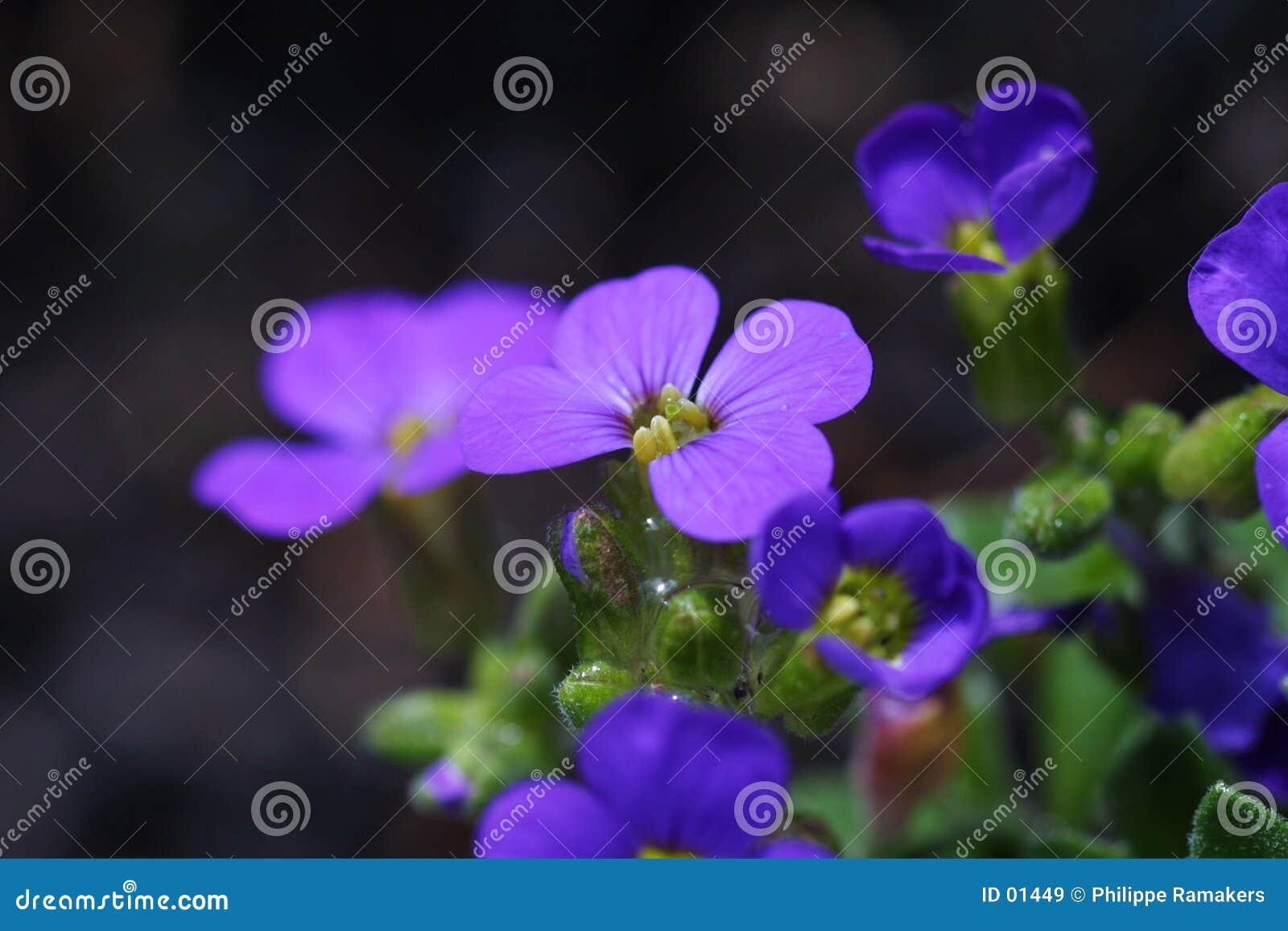 Fleur pourprée
