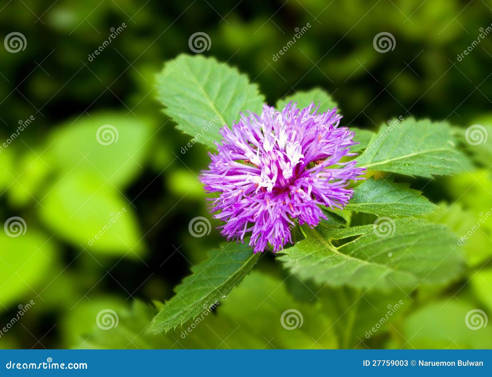 Fleur pourprée de Cass de punctatum de Centratherum