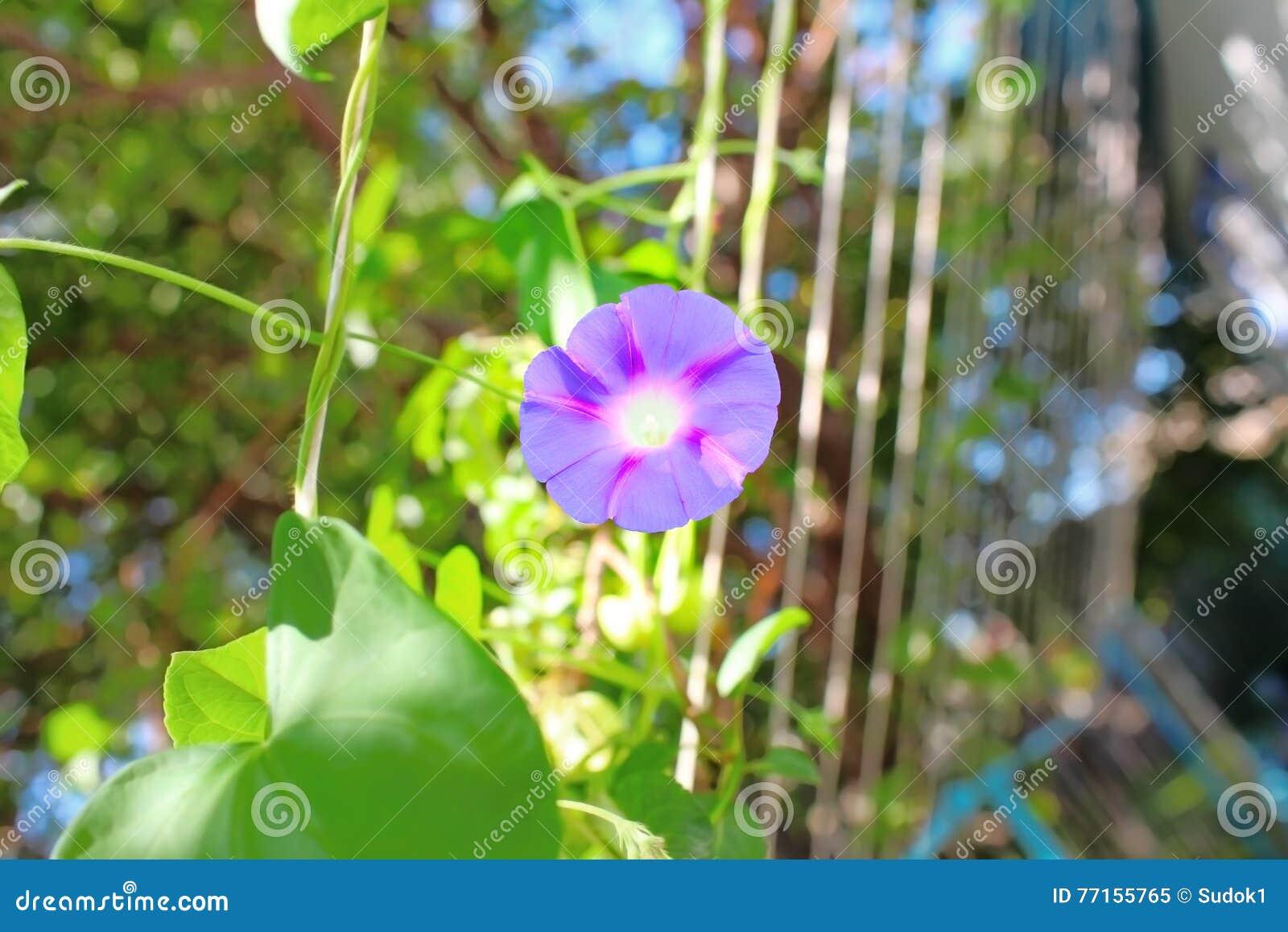 Fleur pourpre à la lumière du soleil de matin