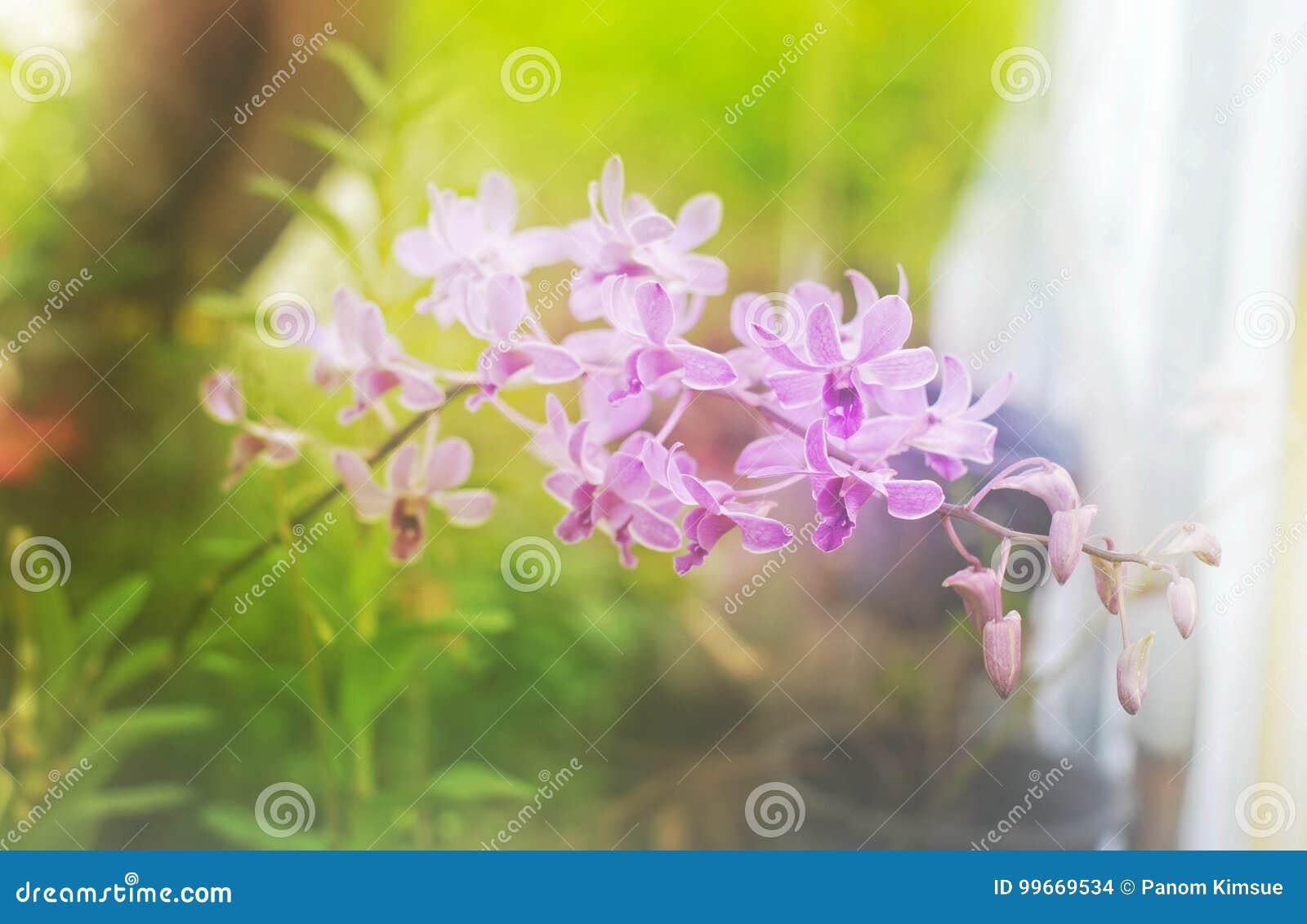 Fleur pourpre d orchidée de tache floue molle dans le jardin