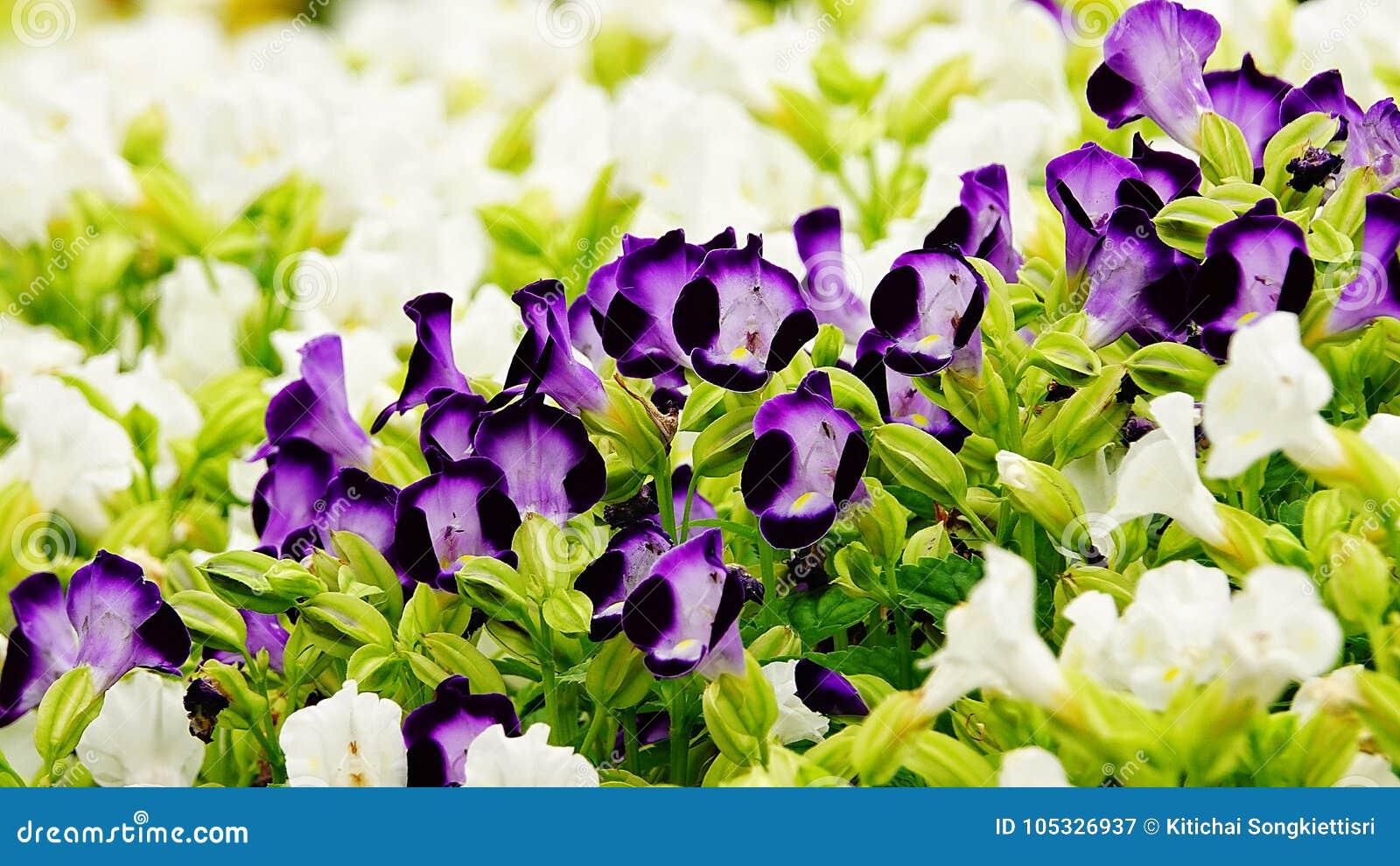 Fleur pourpre de jardin de désambiguisation de pensée