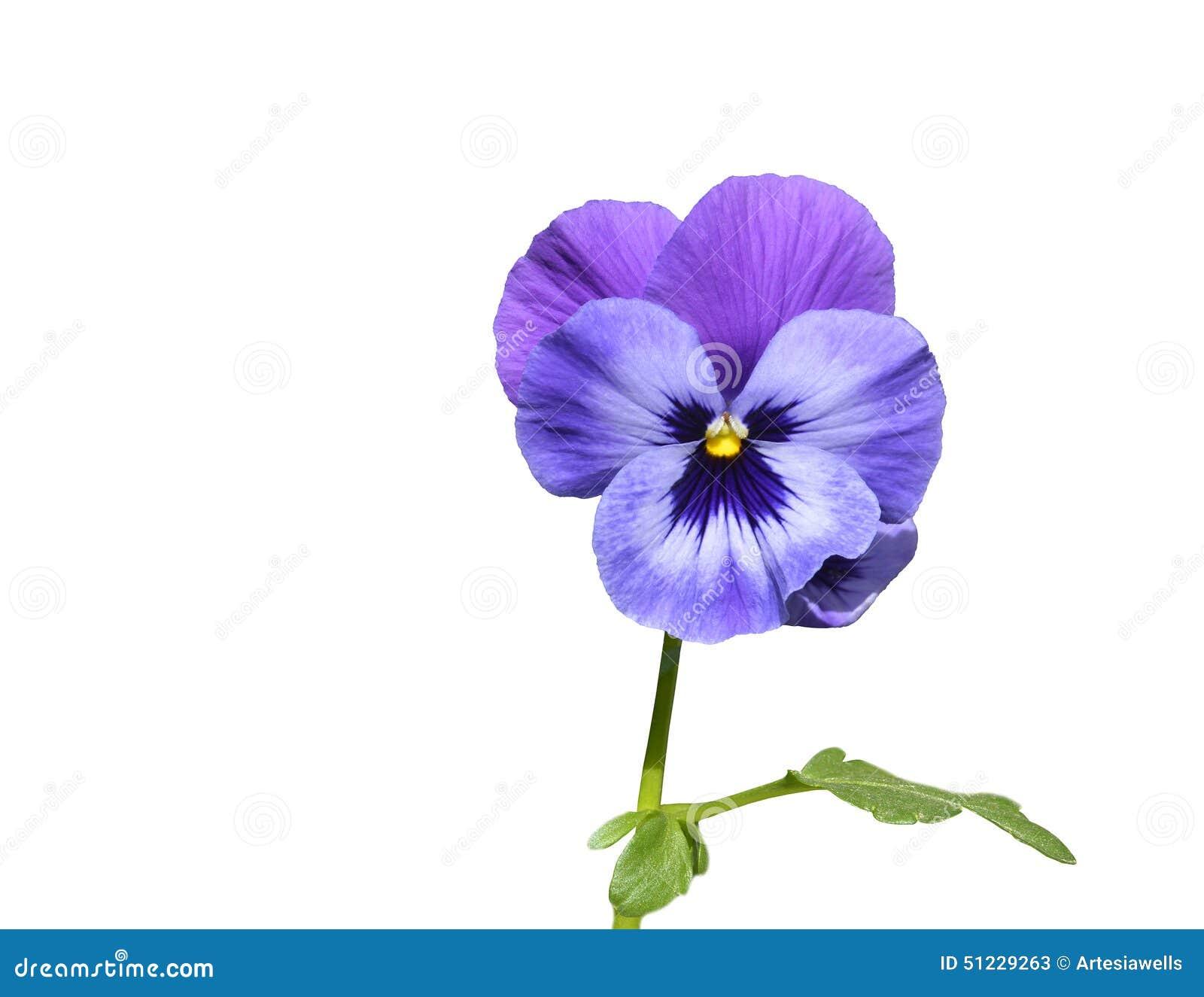 fleur pourpre de pens e avec la feuille photo stock image 51229263. Black Bedroom Furniture Sets. Home Design Ideas