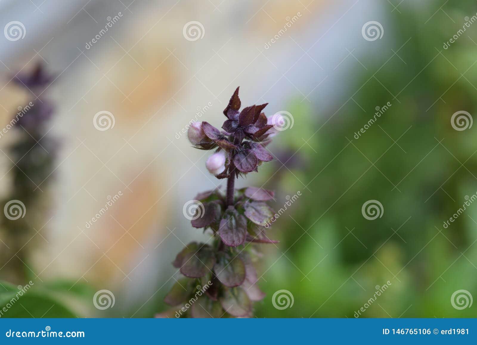 Fleur pourpre et blanche de basilic