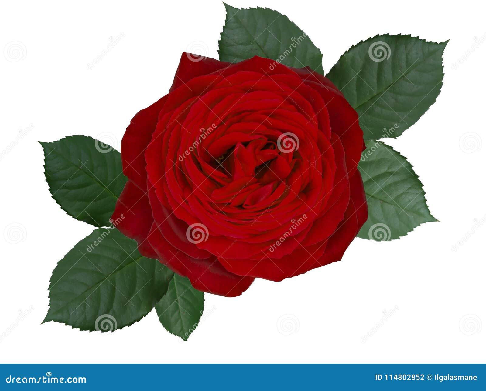 Fleur Romantique De Rose De Rouge D Isolement Sur Le Fond Blanc
