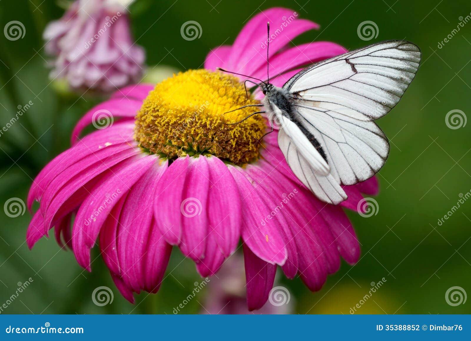 Fleur rose avec le papillon blanc photo stock image du - Papillon fleur ...
