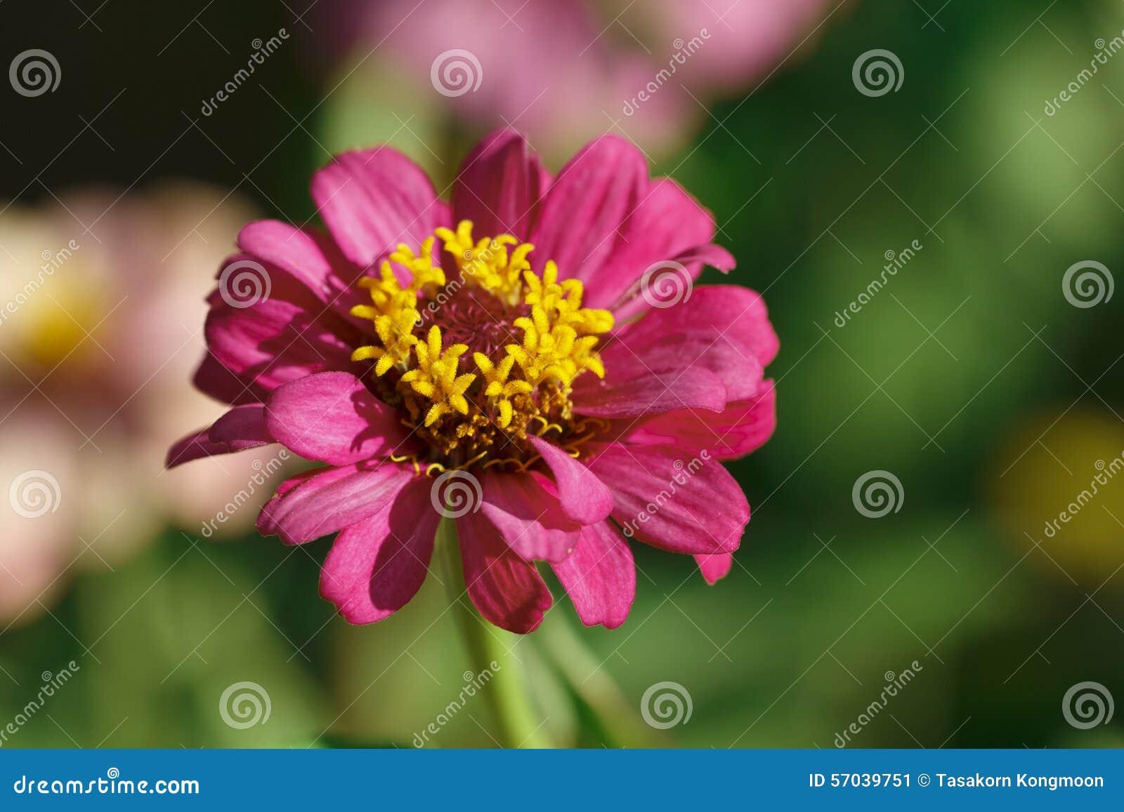 fleur rose avec le pollen jaune photo stock - image: 57039751