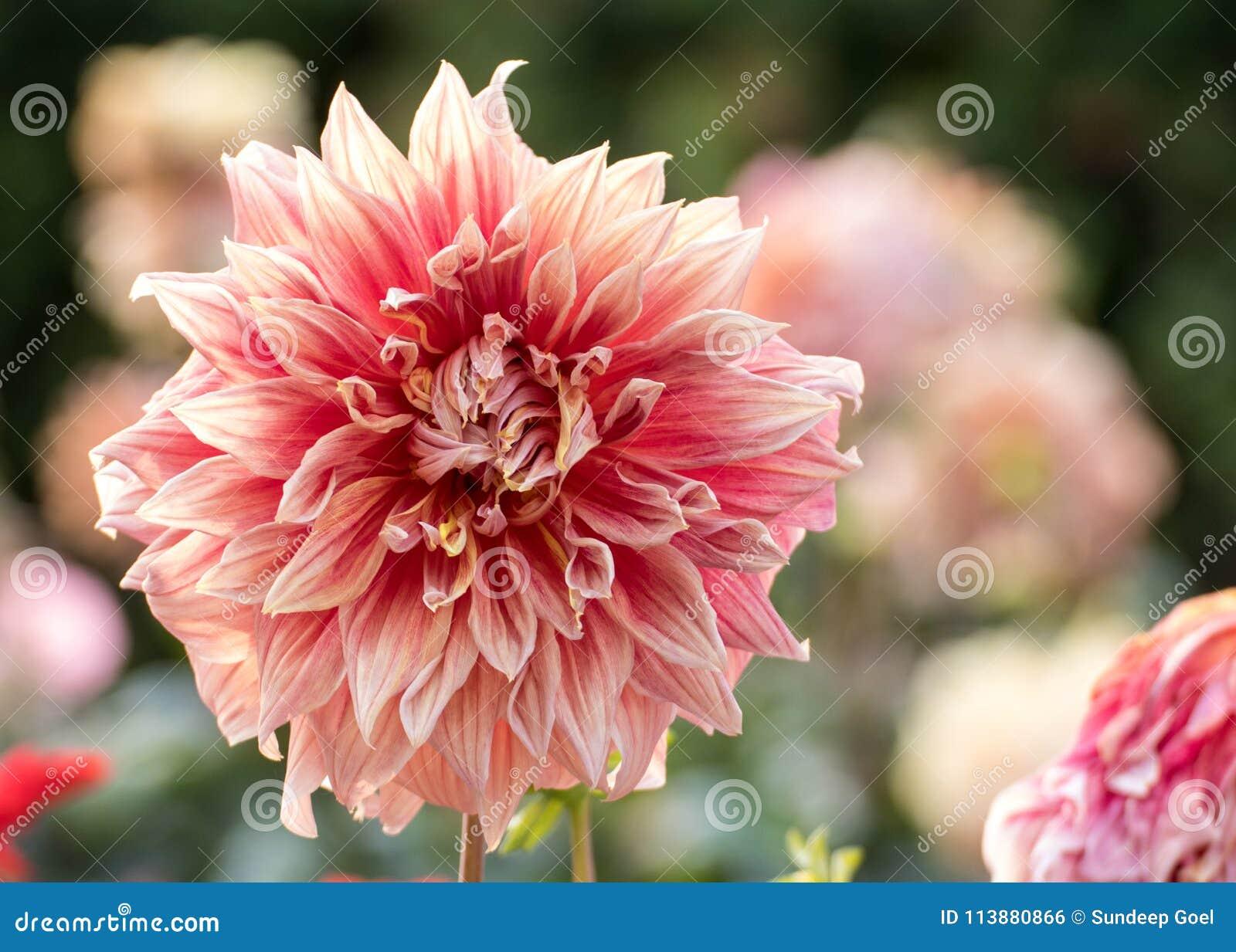 Fleur Rose Blanchatre De Dahlia Photo Stock Image Du Dalia