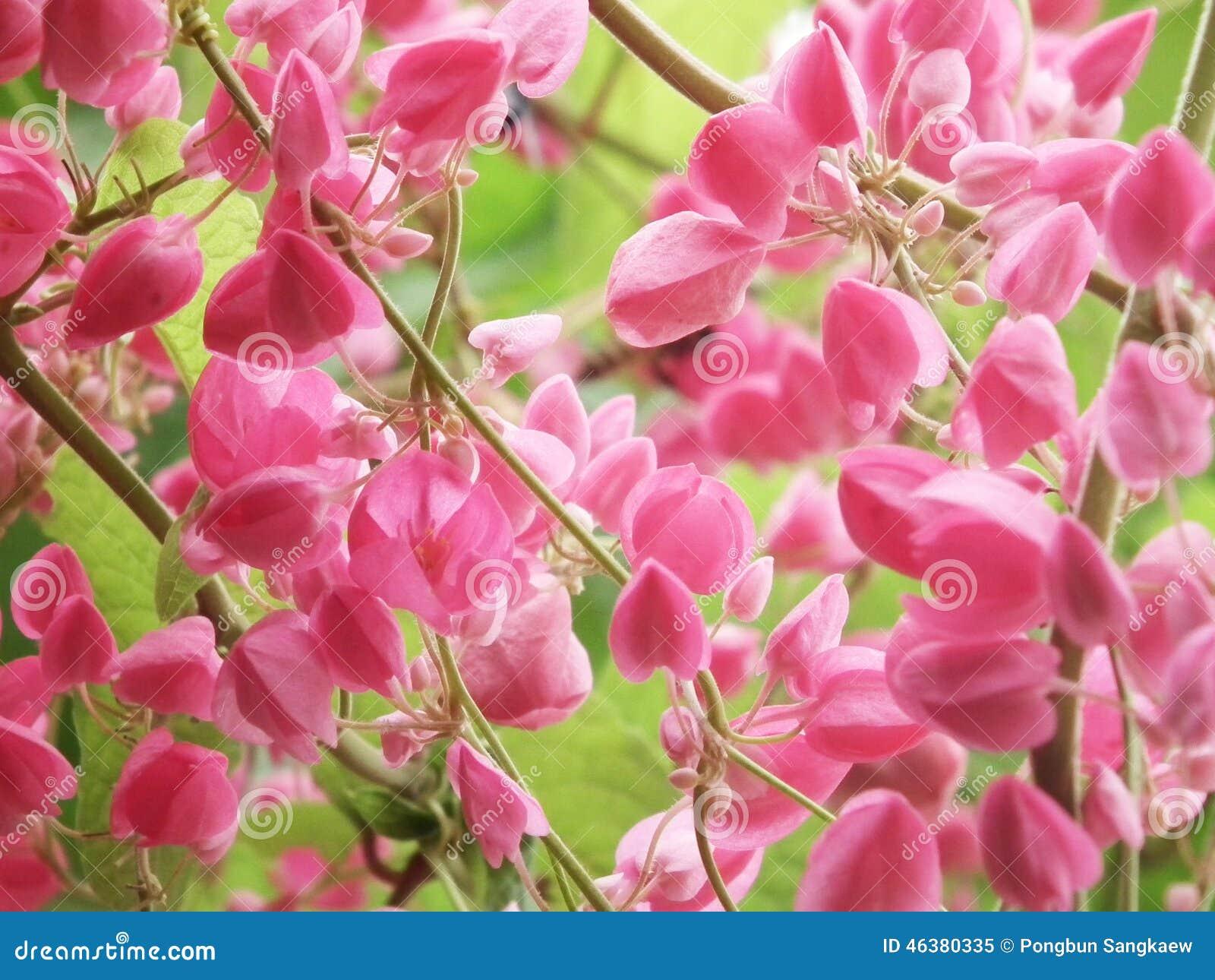 Fleur Rose Coral Vine Plante Grimpante Mexicaine Image Stock