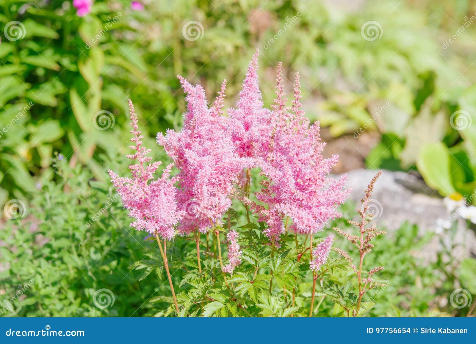 fleur rose d'astilbe photo stock. image du lame, floral - 97756654