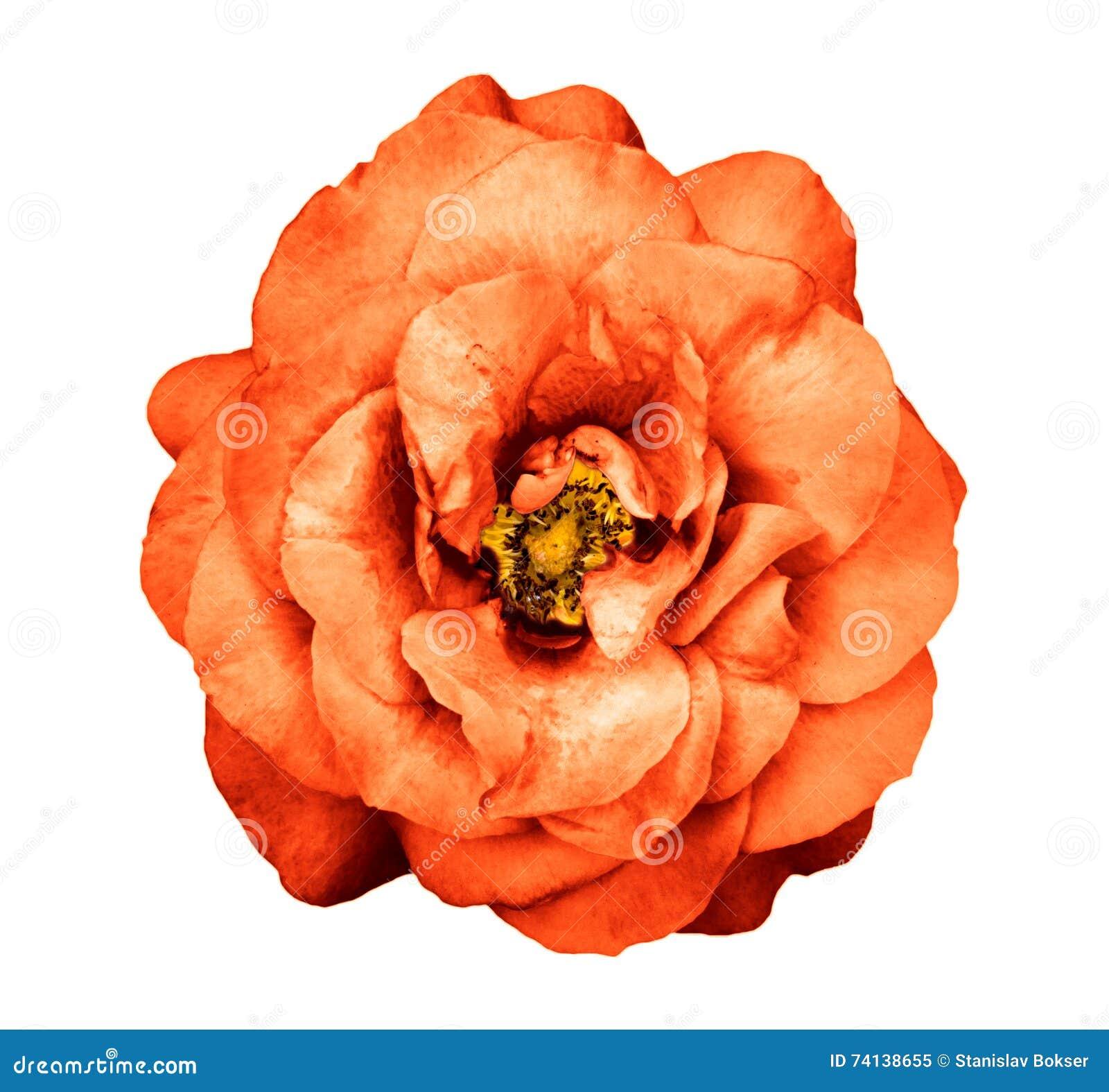 fleur rose d'orange foncée surréaliste de chrome d'isolement photo