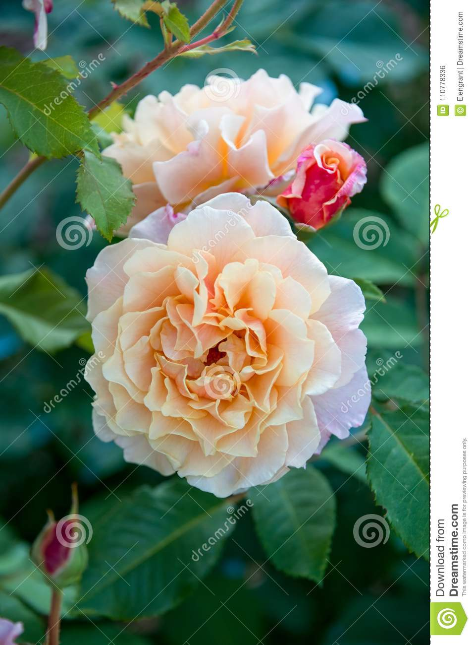 Fleur Rose D Orange Pale Avec Le Bourgeon Rouge Dans Le Jardin Photo
