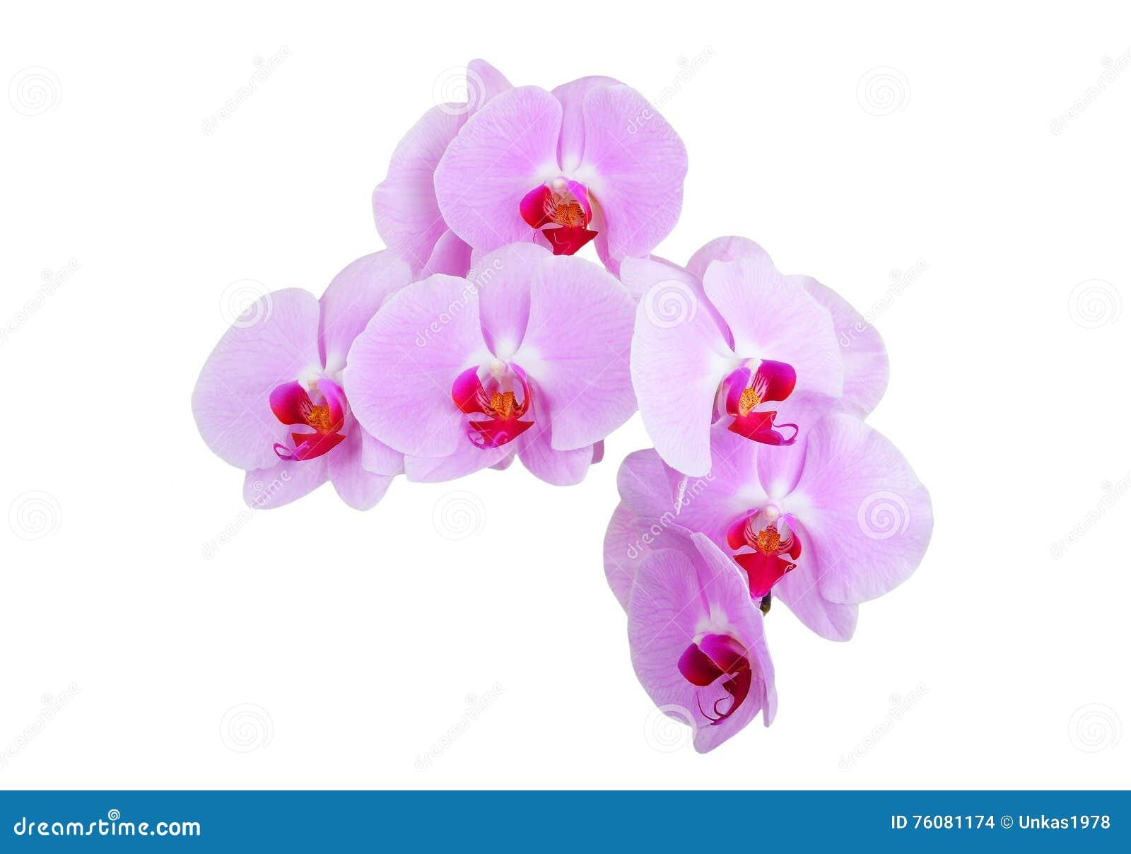 Fleur rose d orchidée