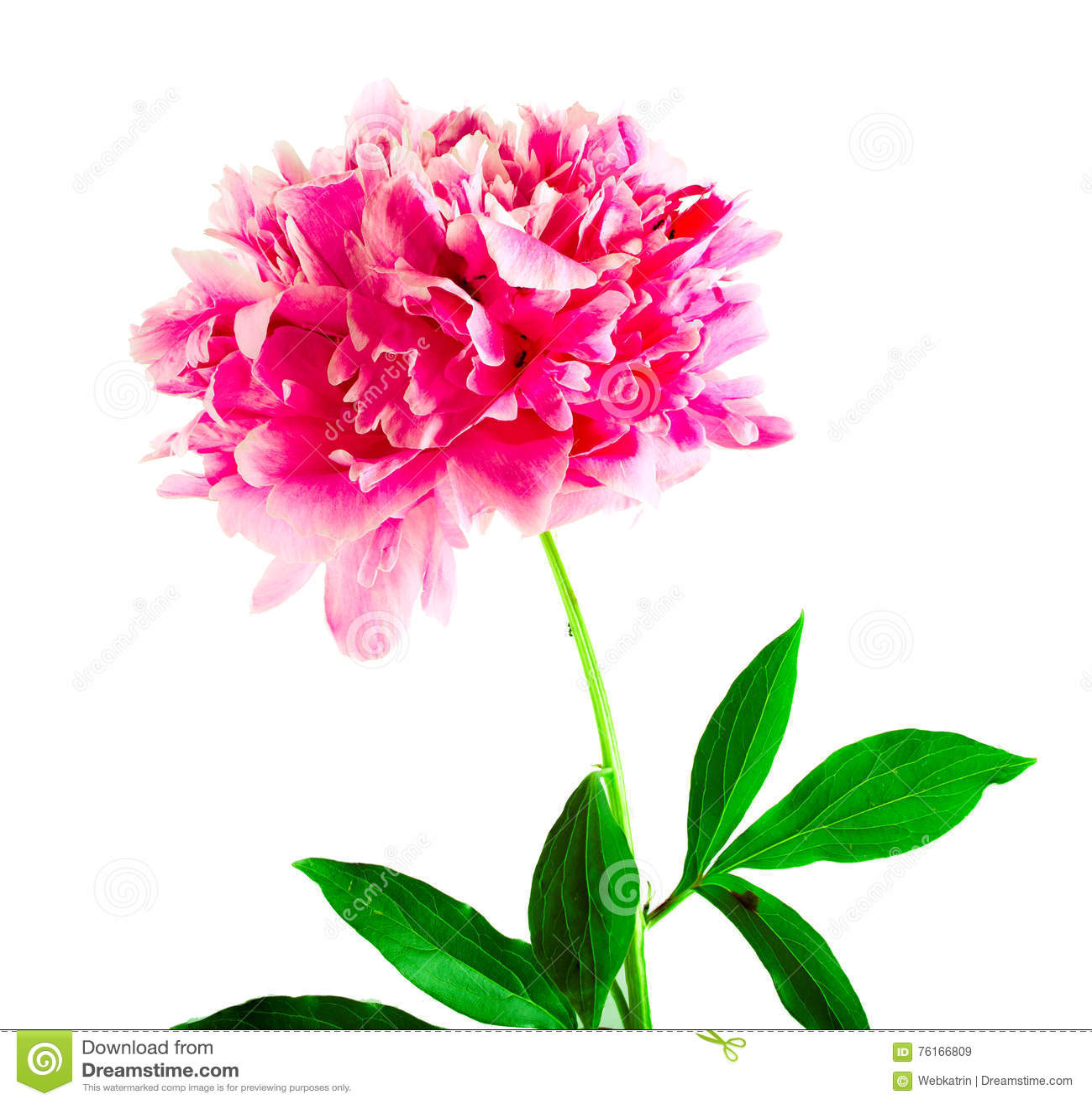Fleur rose d 39 une pivoine sur un fond blanc image stock image du vide peon 76166809 - Comment couper une rose sur un rosier ...