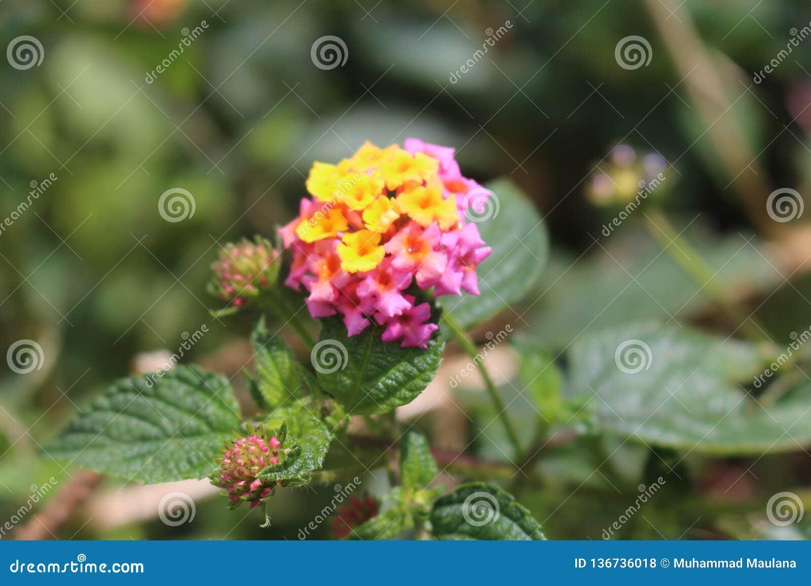 Fleur rose de bâti de Merapi