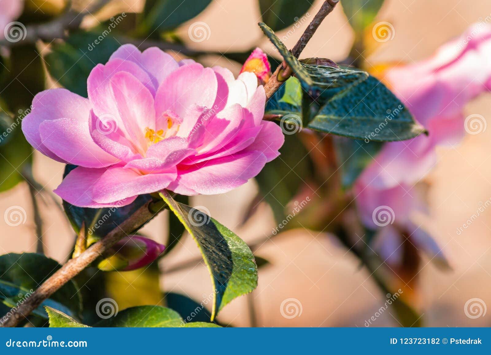 Fleur rose de camélia en fleur