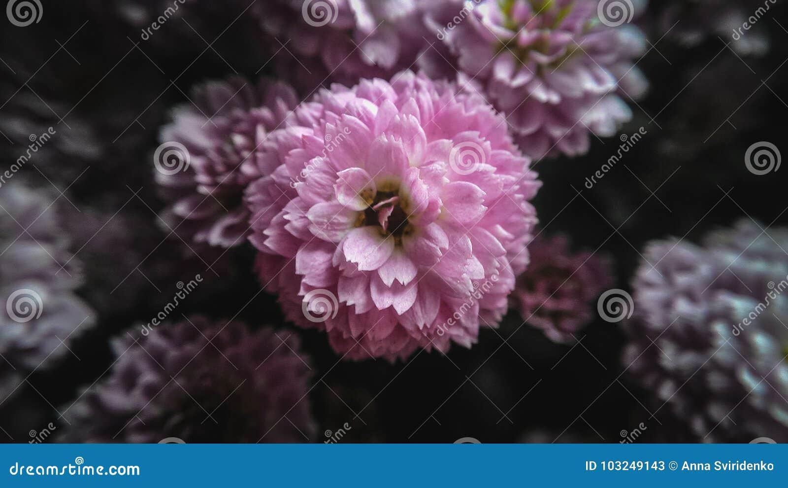 Fleur rose de chrysanthème