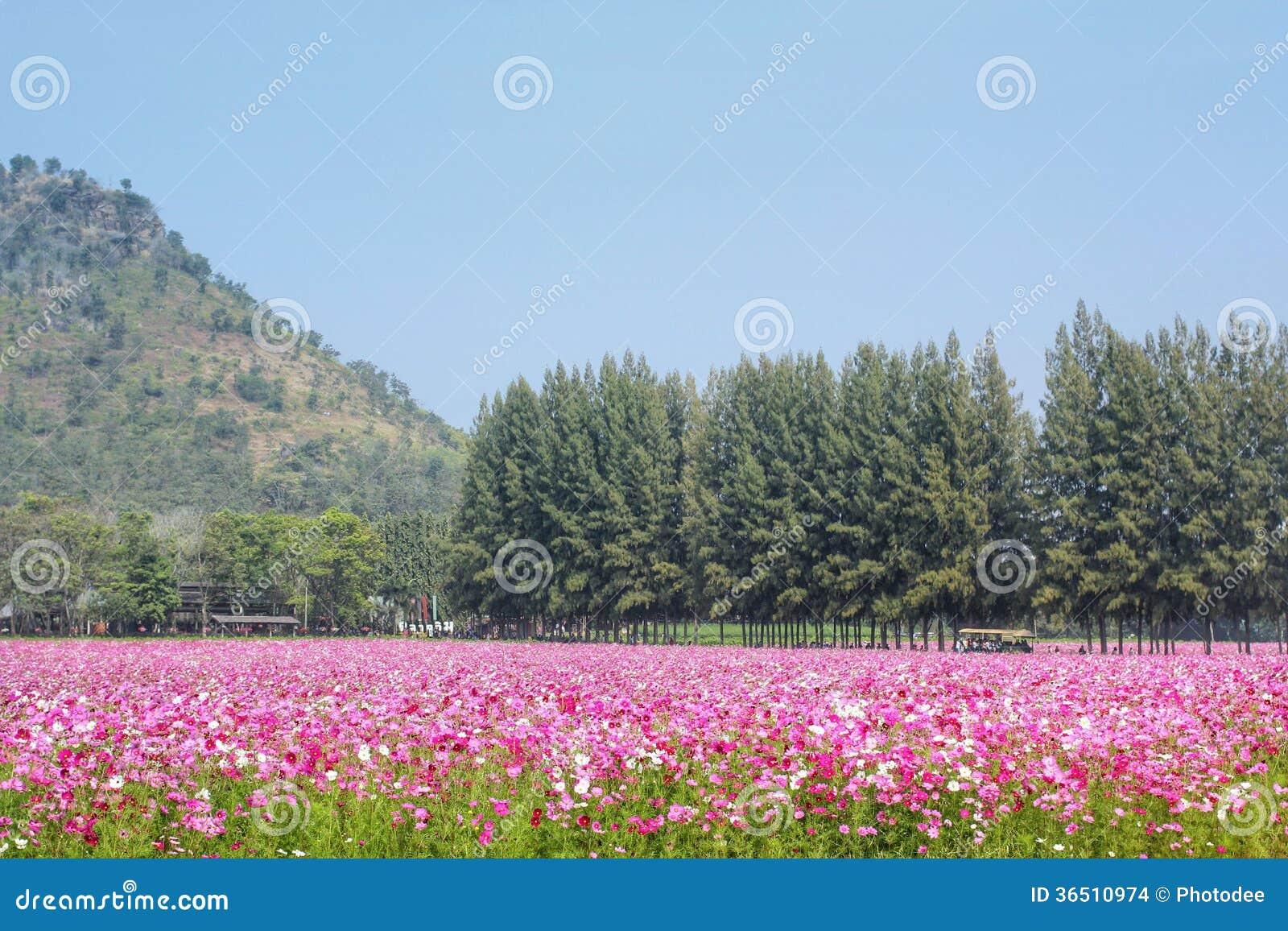 Fleur rose de cosmos