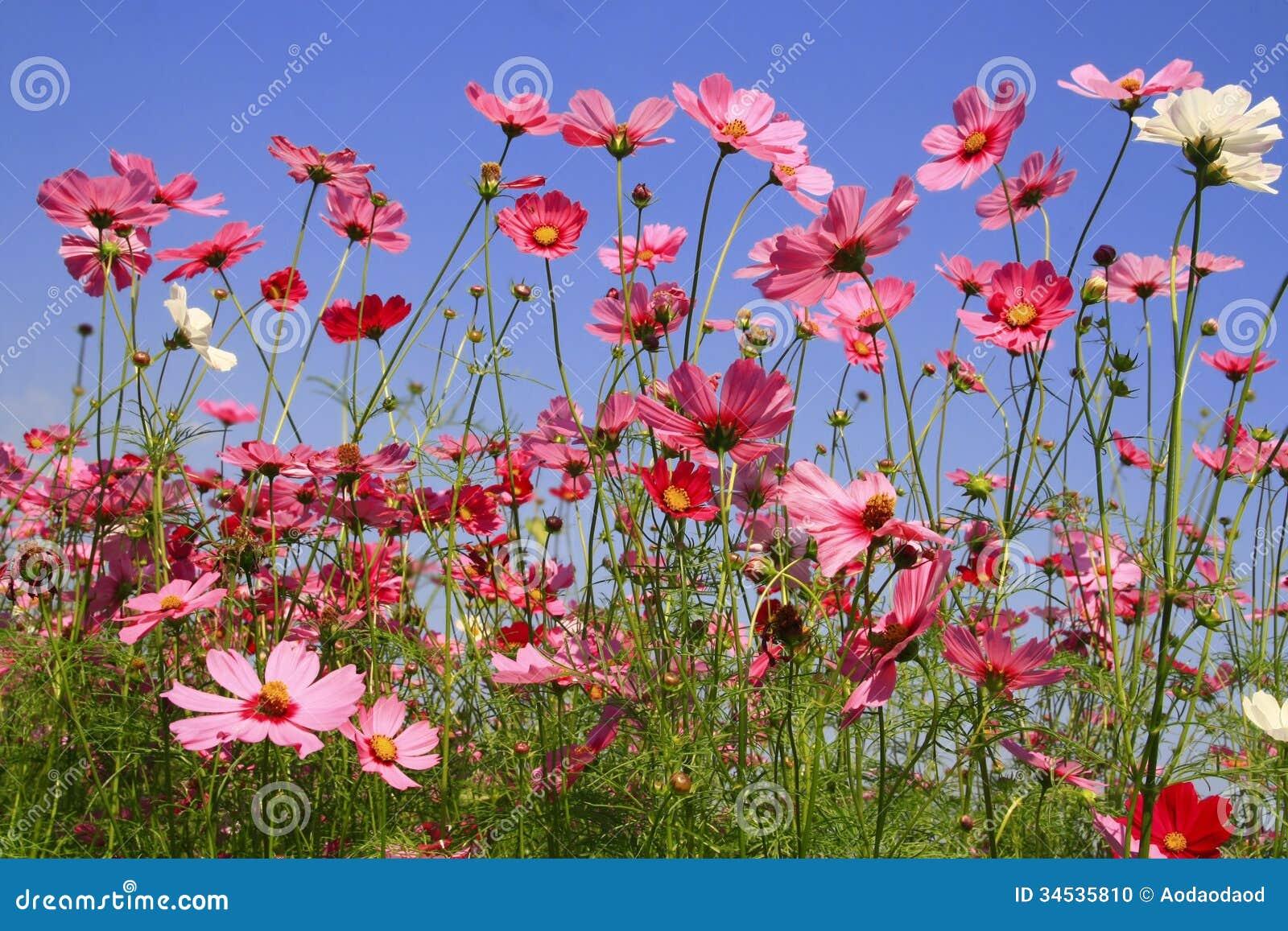 Fleur rose de cosmos dans le jardin photo stock image for Fleurs des jardins