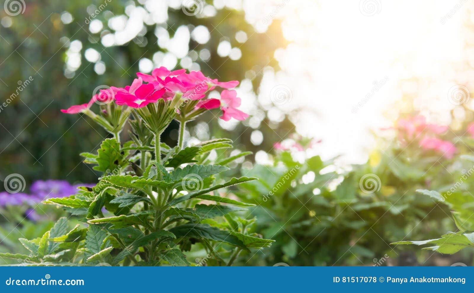 fleur rose de fleur de hybrida de verveine photo stock - image