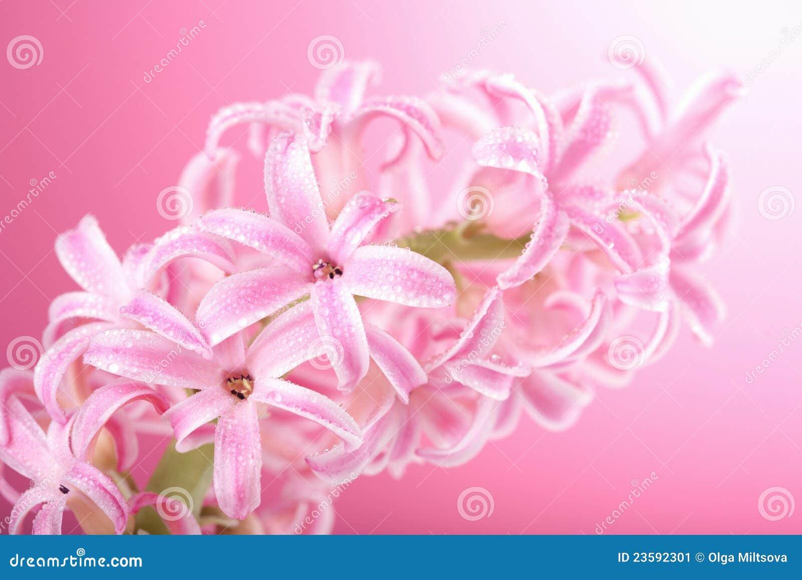 fleur rose de jacinthe image stock image du vivacit 23592301. Black Bedroom Furniture Sets. Home Design Ideas
