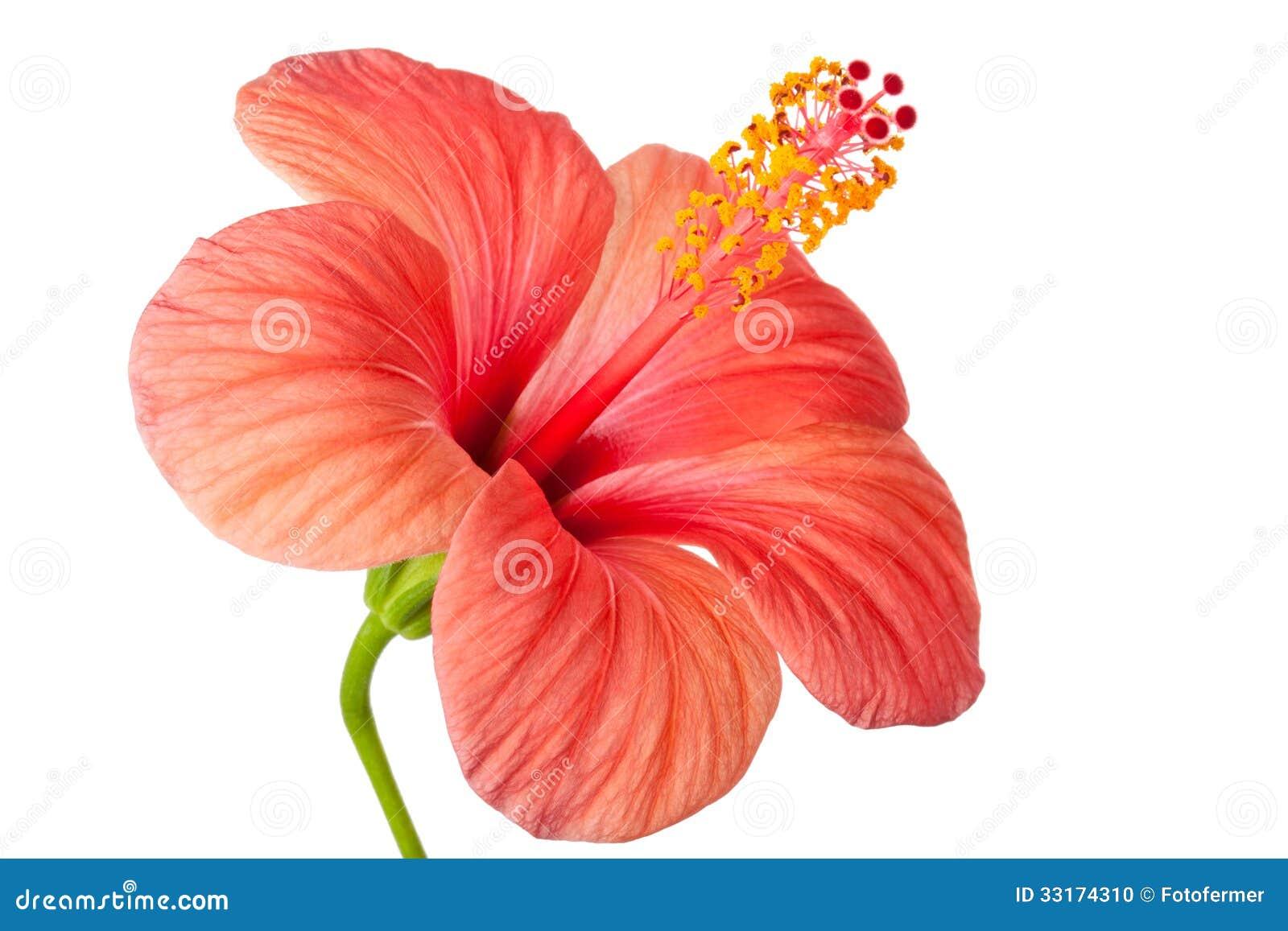 Fleur rose de ketmie