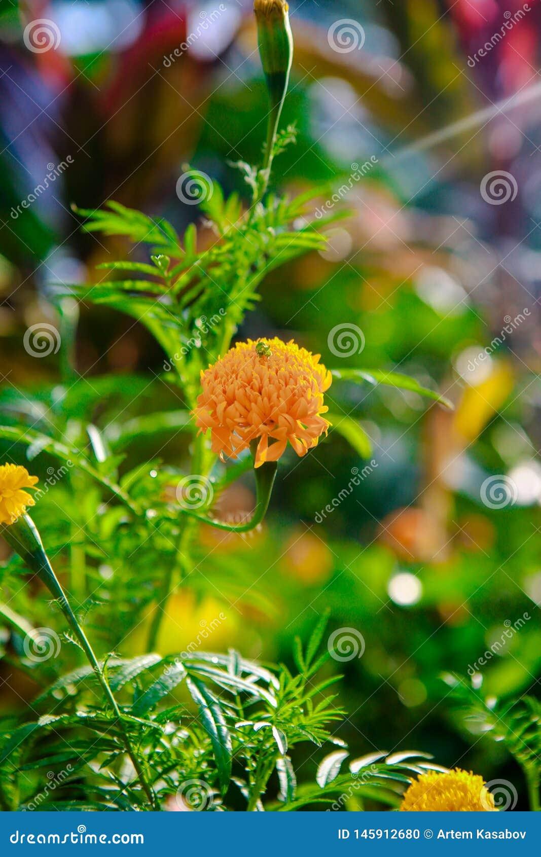 Fleur rose de lis Beau lis rose et fond vert de feuille dans le jardin ? l ?t? ou ? la journ?e de printemps ensoleill?