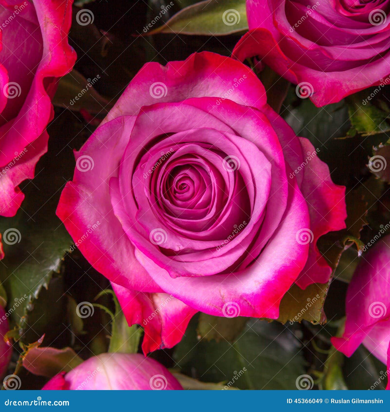 Fleur rose de pétale magenta