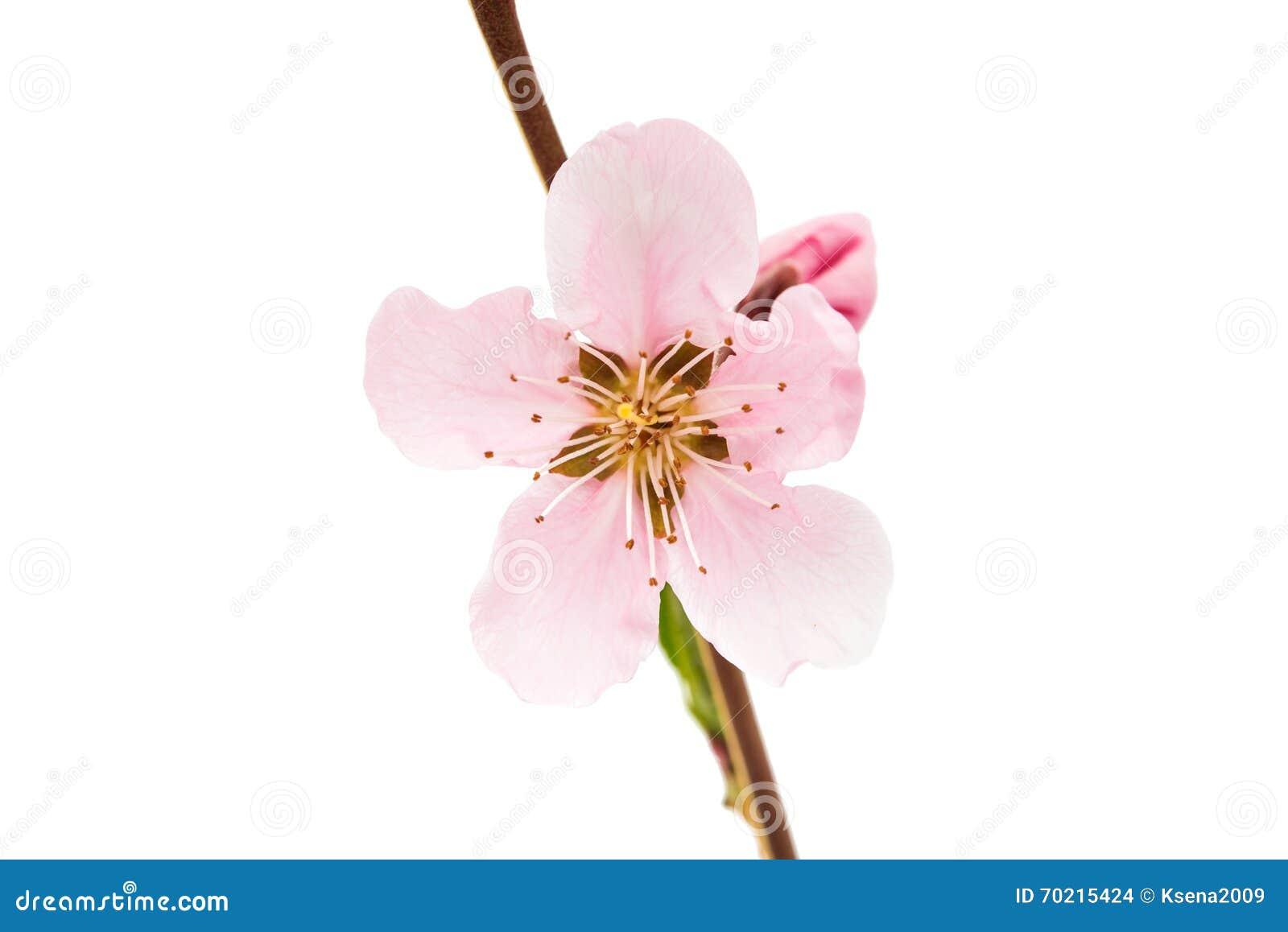 fleur rose de pêche photo stock - image: 70215424