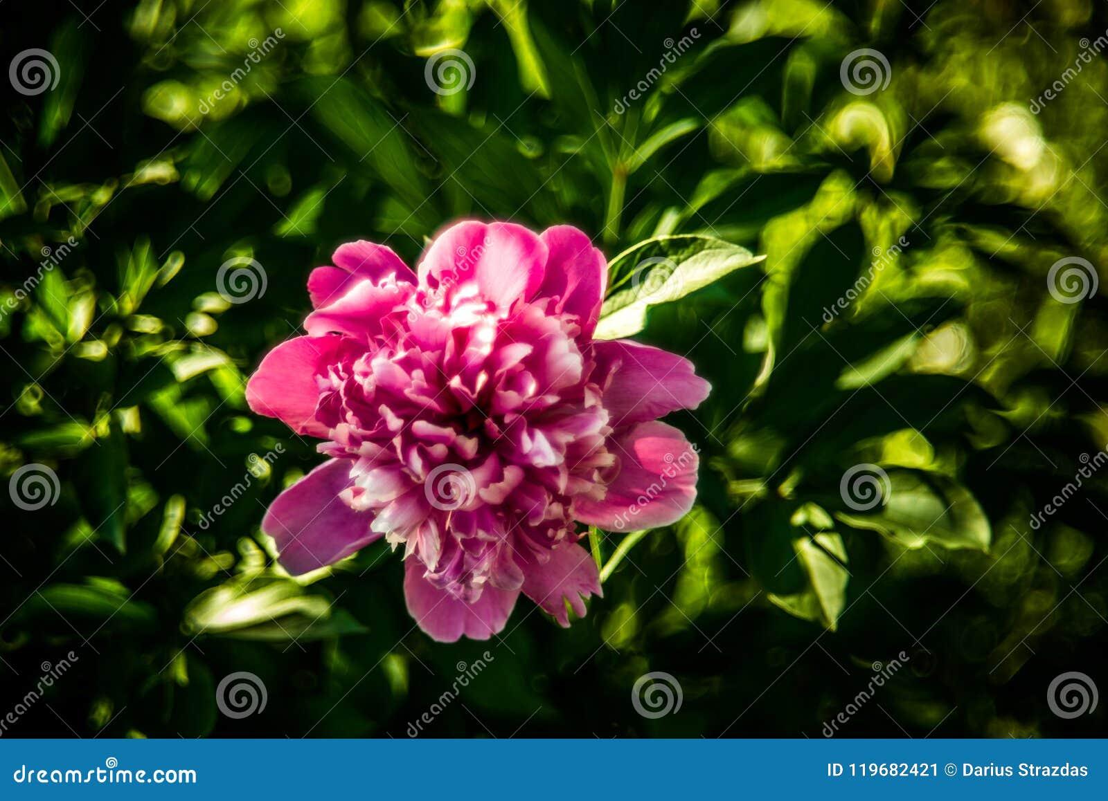 Fleur rose de pivoine