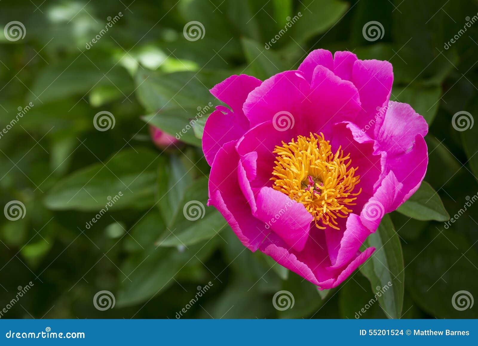 fleur rose de pivoine avec le centre jaune photo stock - image