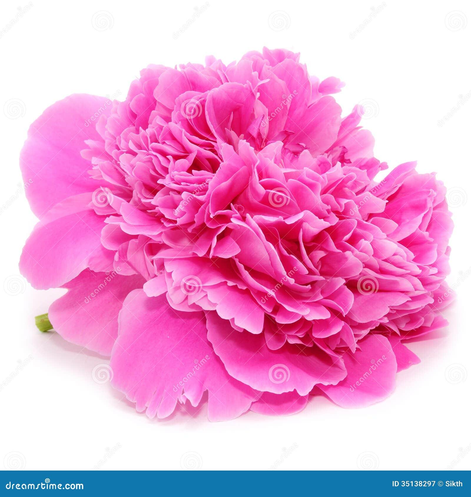 fleur rose de pivoine d 39 isolement sur le fond blanc image stock image du blanc paeony 35138297. Black Bedroom Furniture Sets. Home Design Ideas
