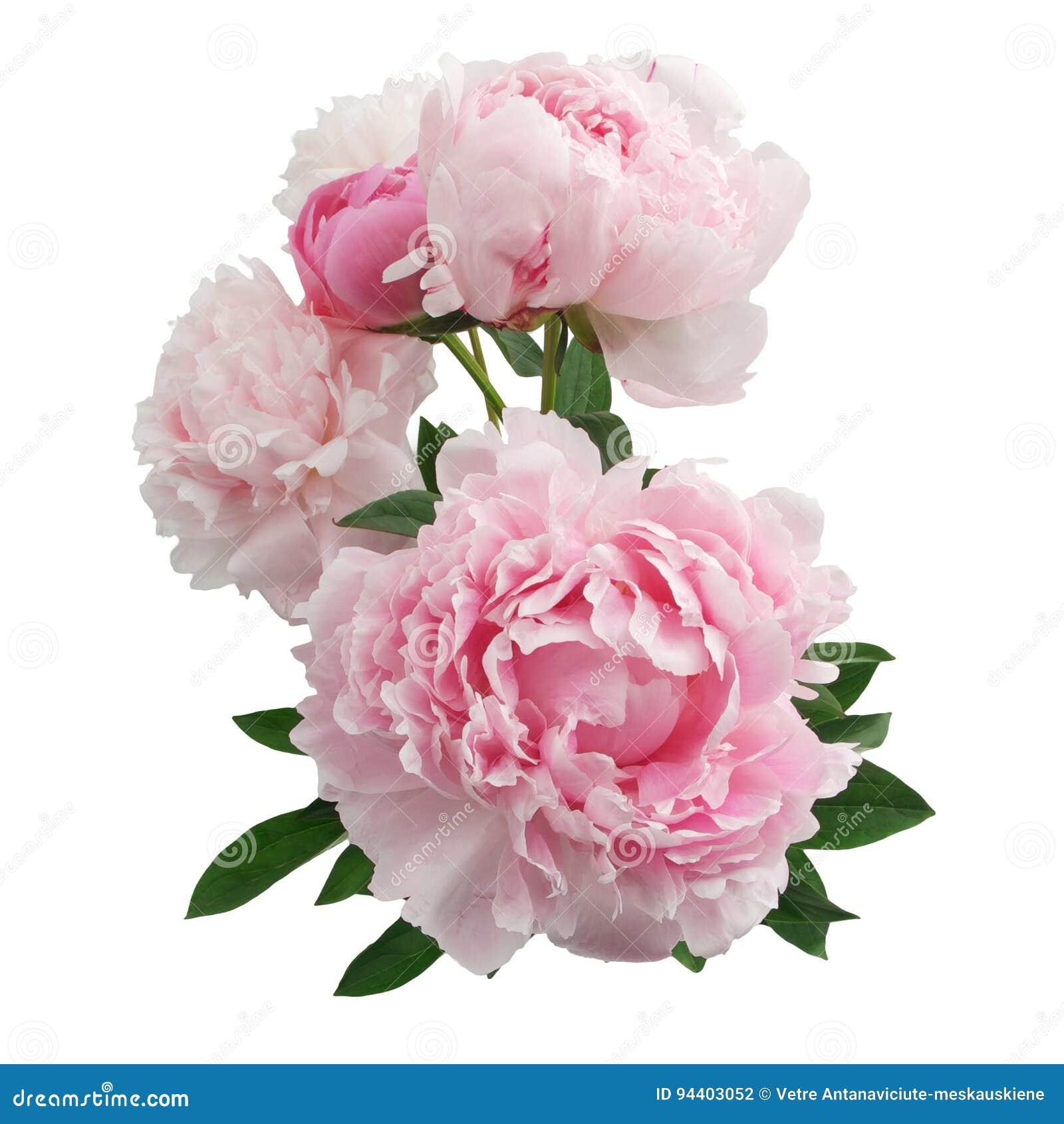 fleur rose fond blanc id e d 39 image de fleur. Black Bedroom Furniture Sets. Home Design Ideas